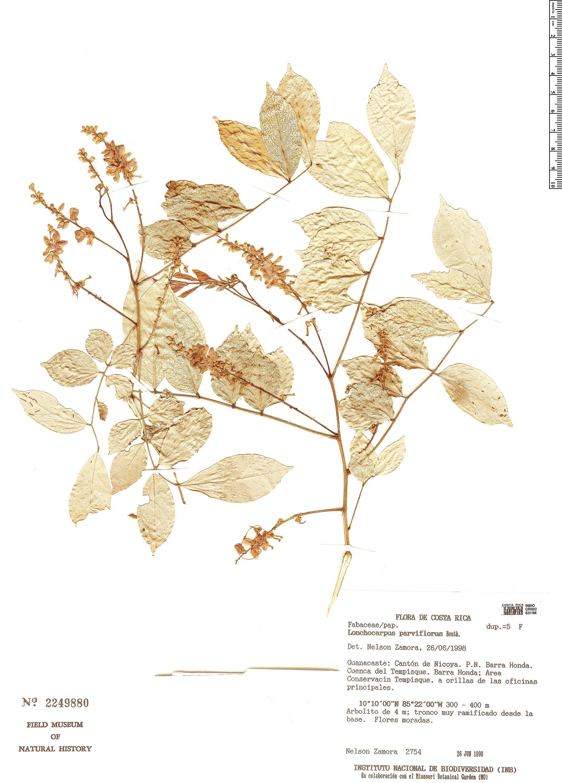 Specimen: Lonchocarpus parviflorus