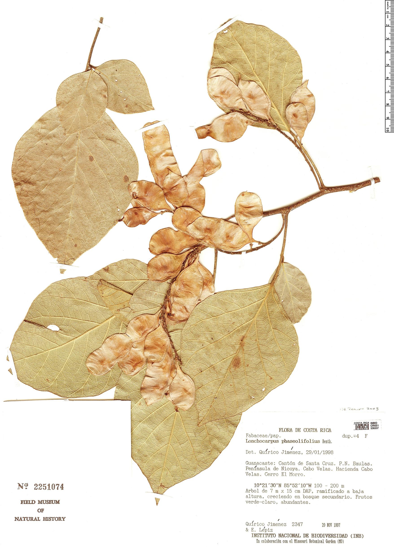 Specimen: Lonchocarpus phaseolifolius