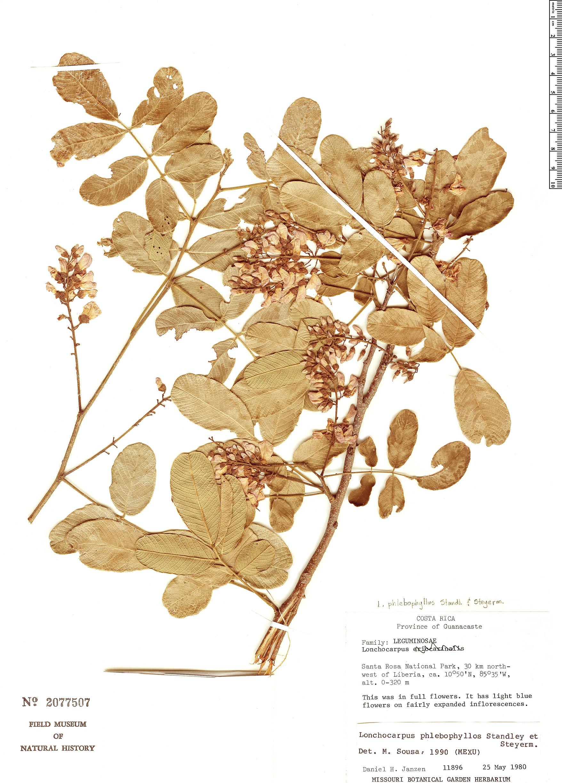 Specimen: Lonchocarpus phlebophyllus
