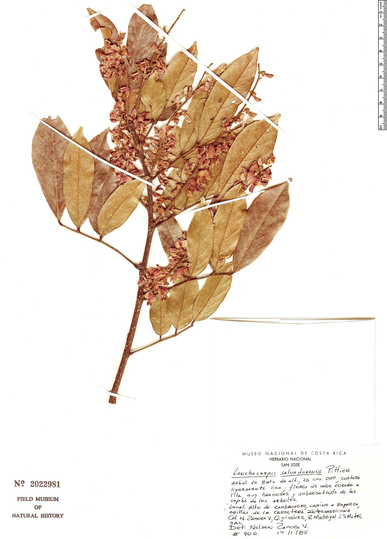 Specimen: Lonchocarpus salvadorensis