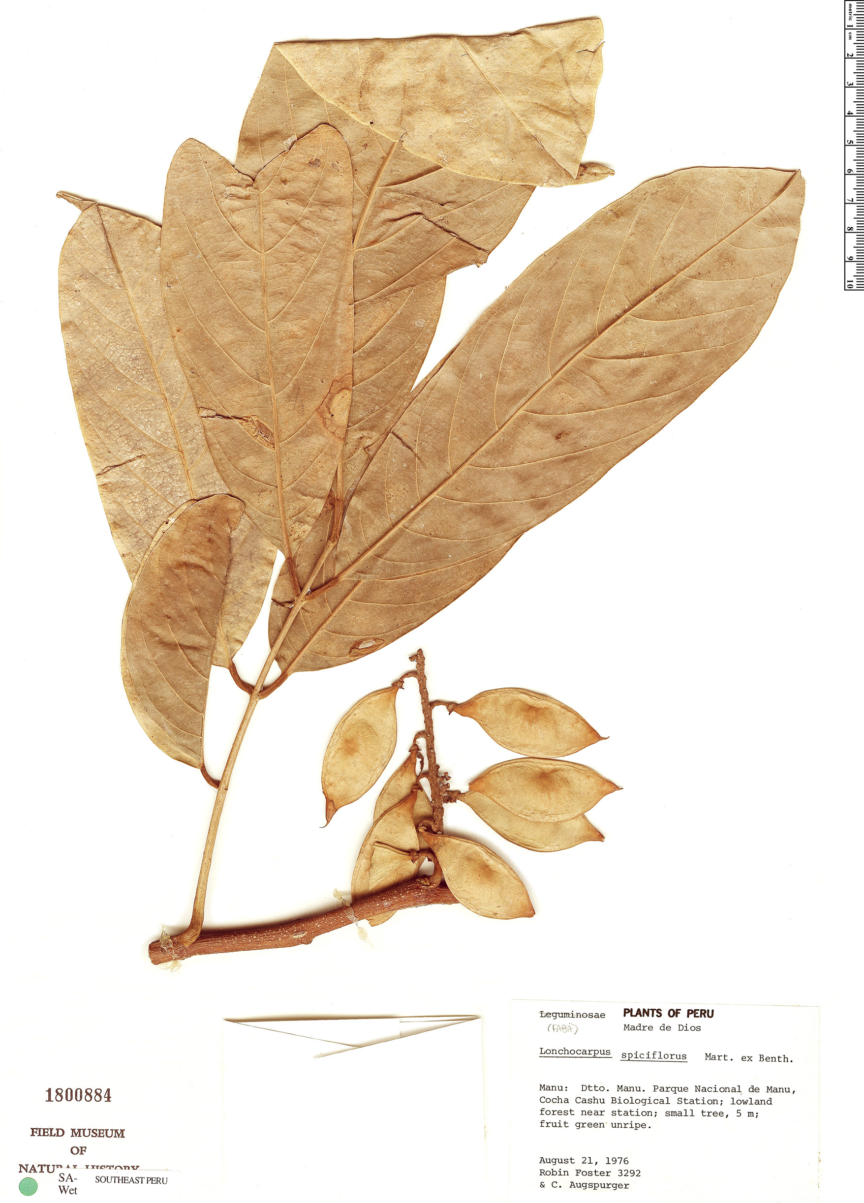 Specimen: Lonchocarpus spiciflorus