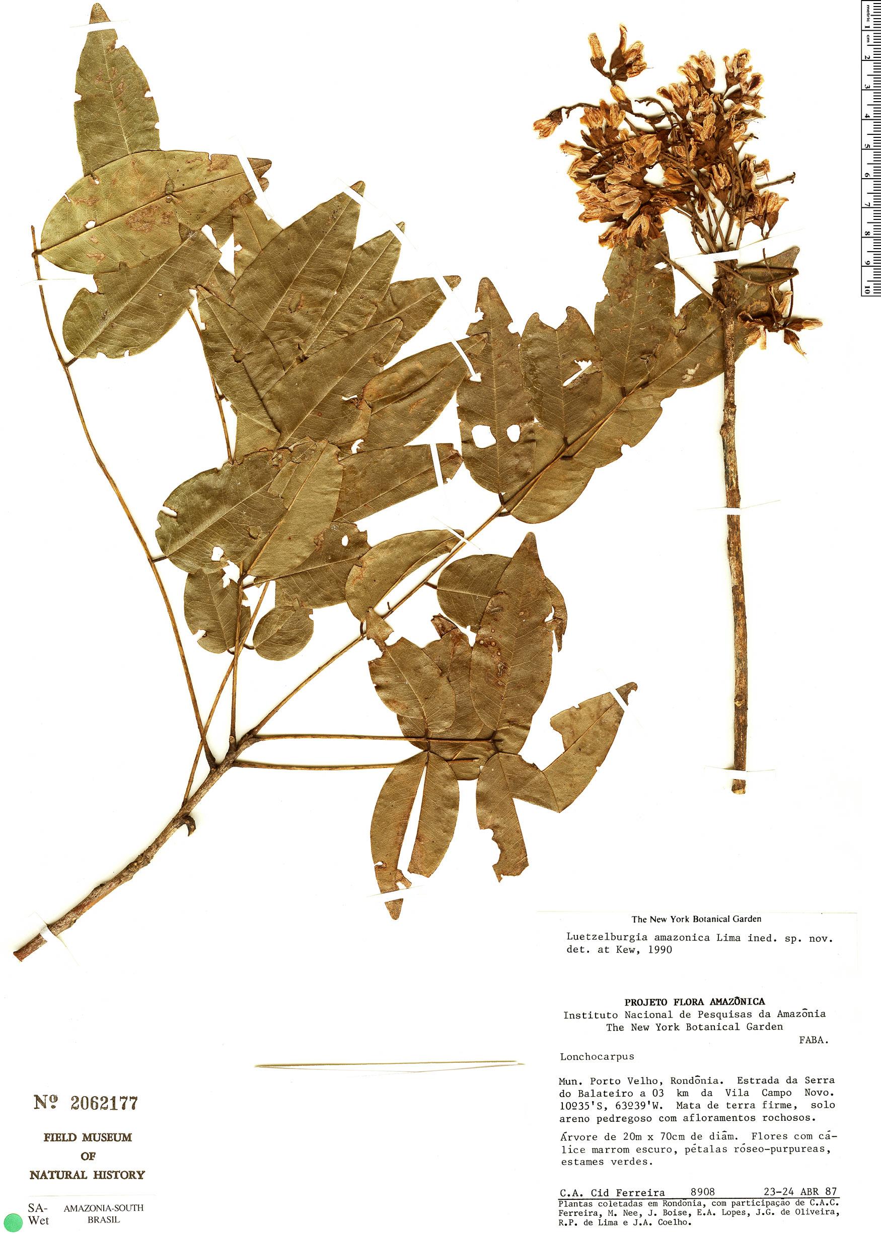 Specimen: Luetzelburgia amazonica