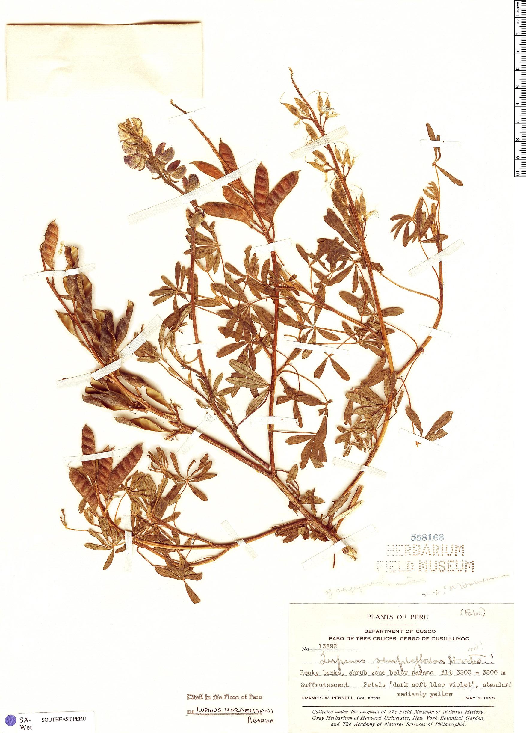 Specimen: Lupinus hornemannii