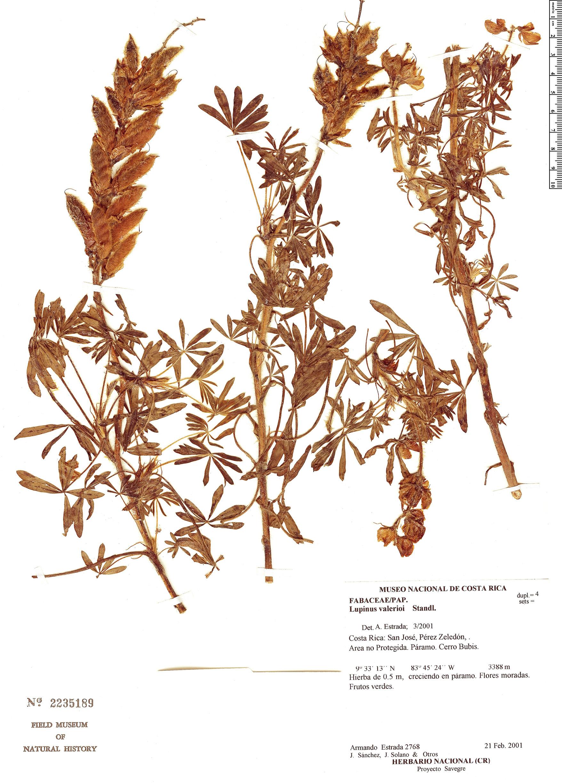 Specimen: Lupinus valerioi