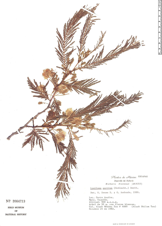 Specimen: Lysiloma auritum