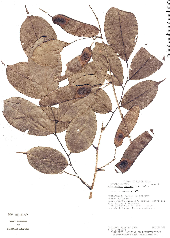 Specimen: Machaerium excavatum