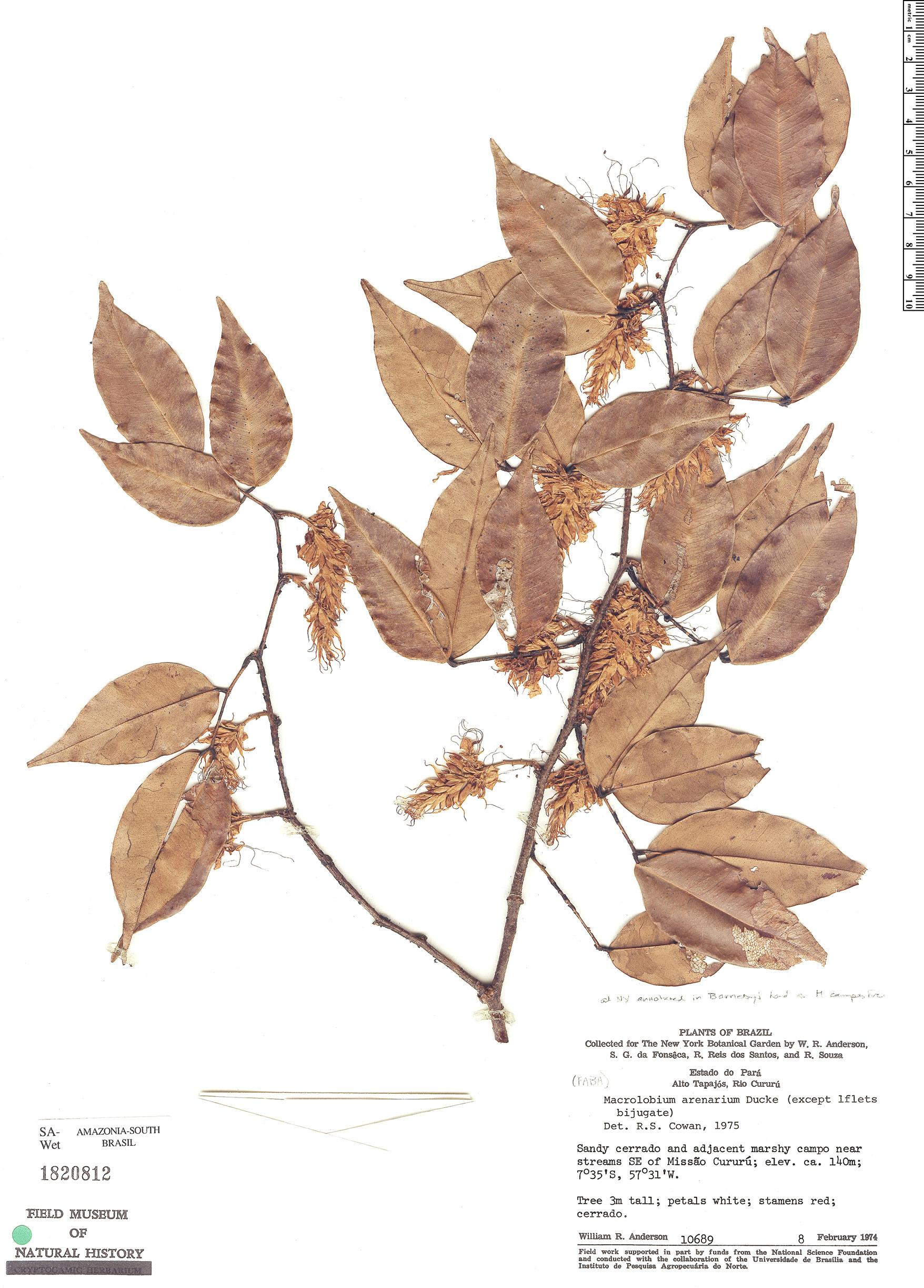 Specimen: Macrolobium arenarium