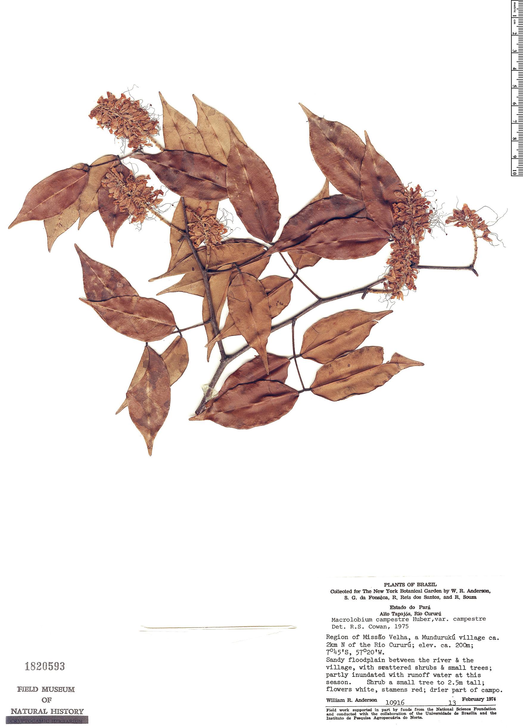 Specimen: Macrolobium campestre