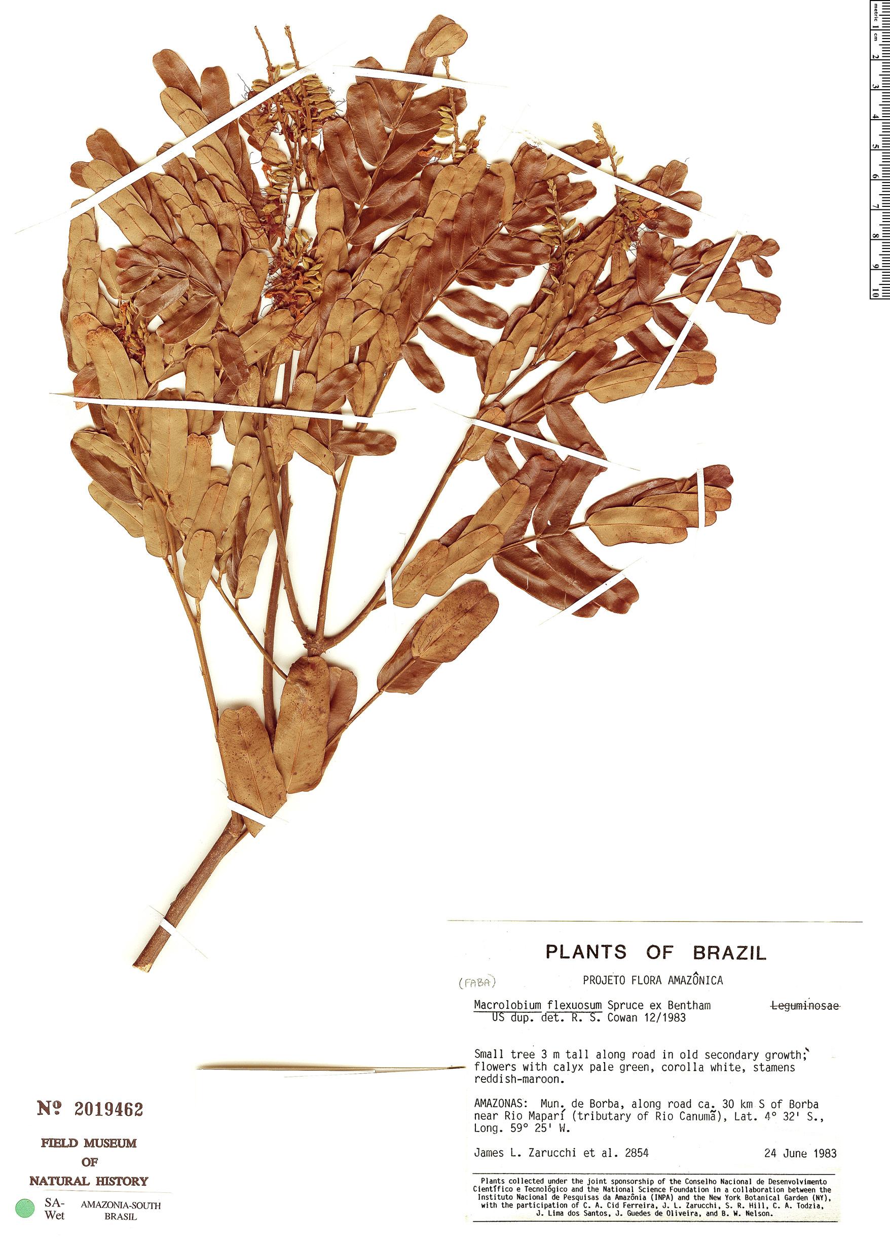Espécime: Macrolobium flexuosum