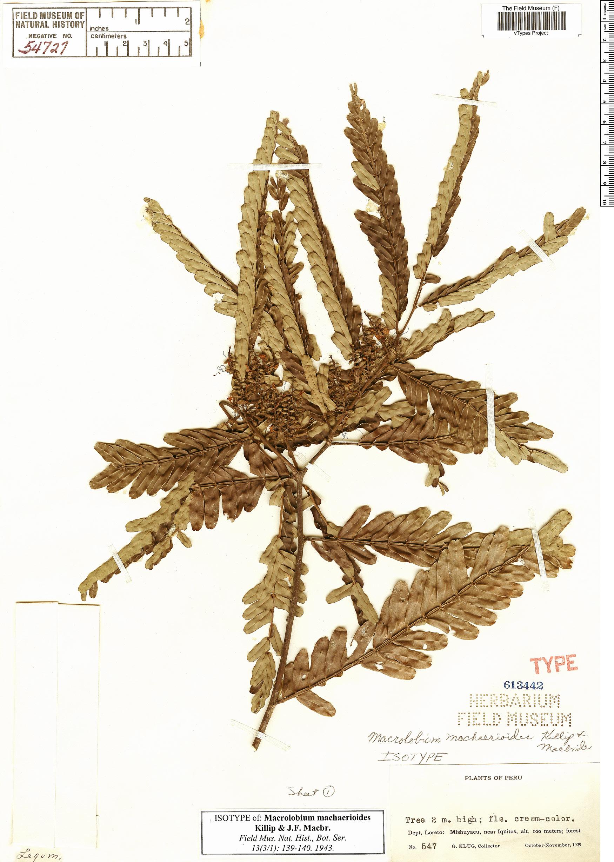 Specimen: Macrolobium machaerioides
