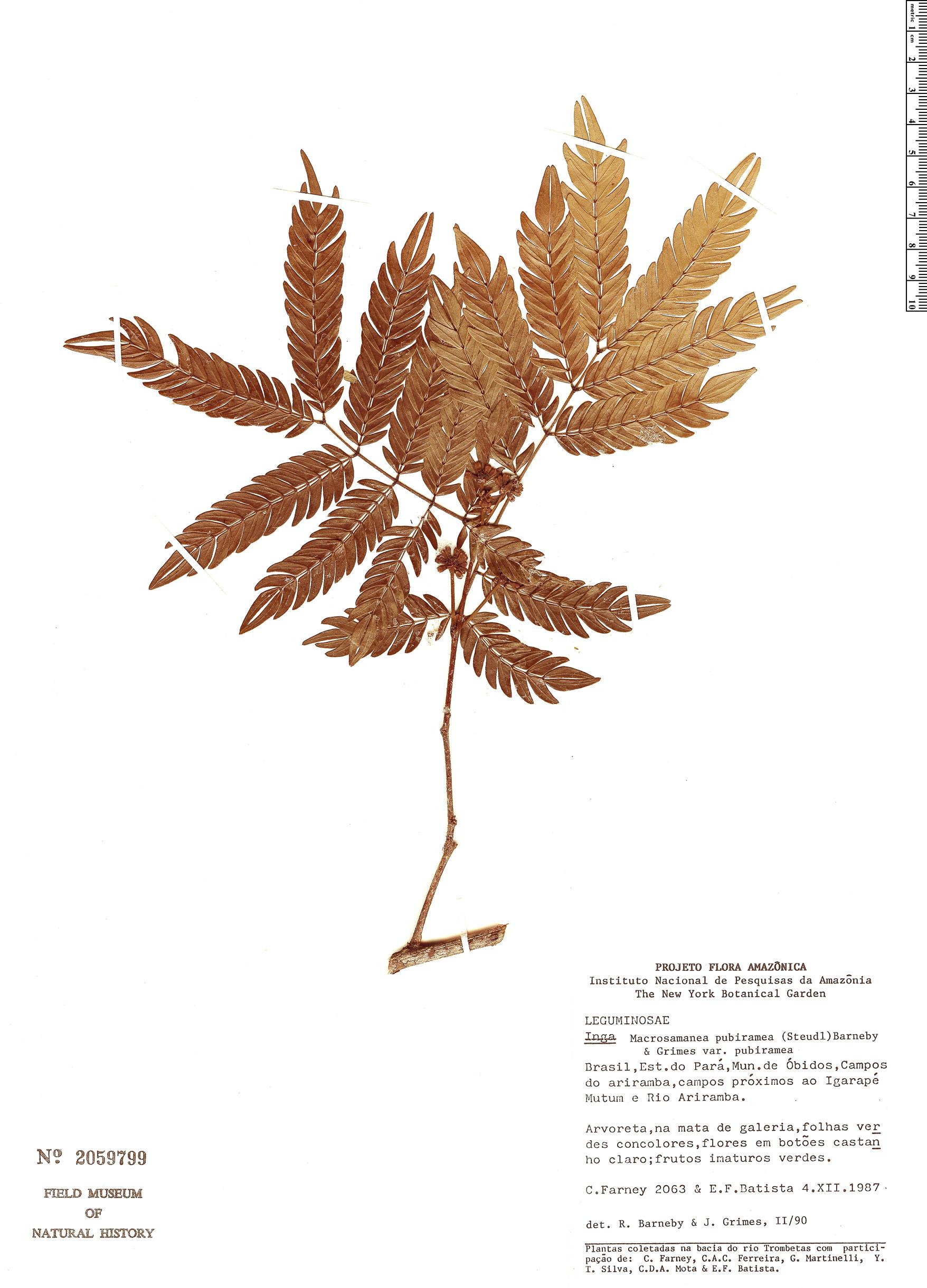 Specimen: Macrosamanea pubiramea