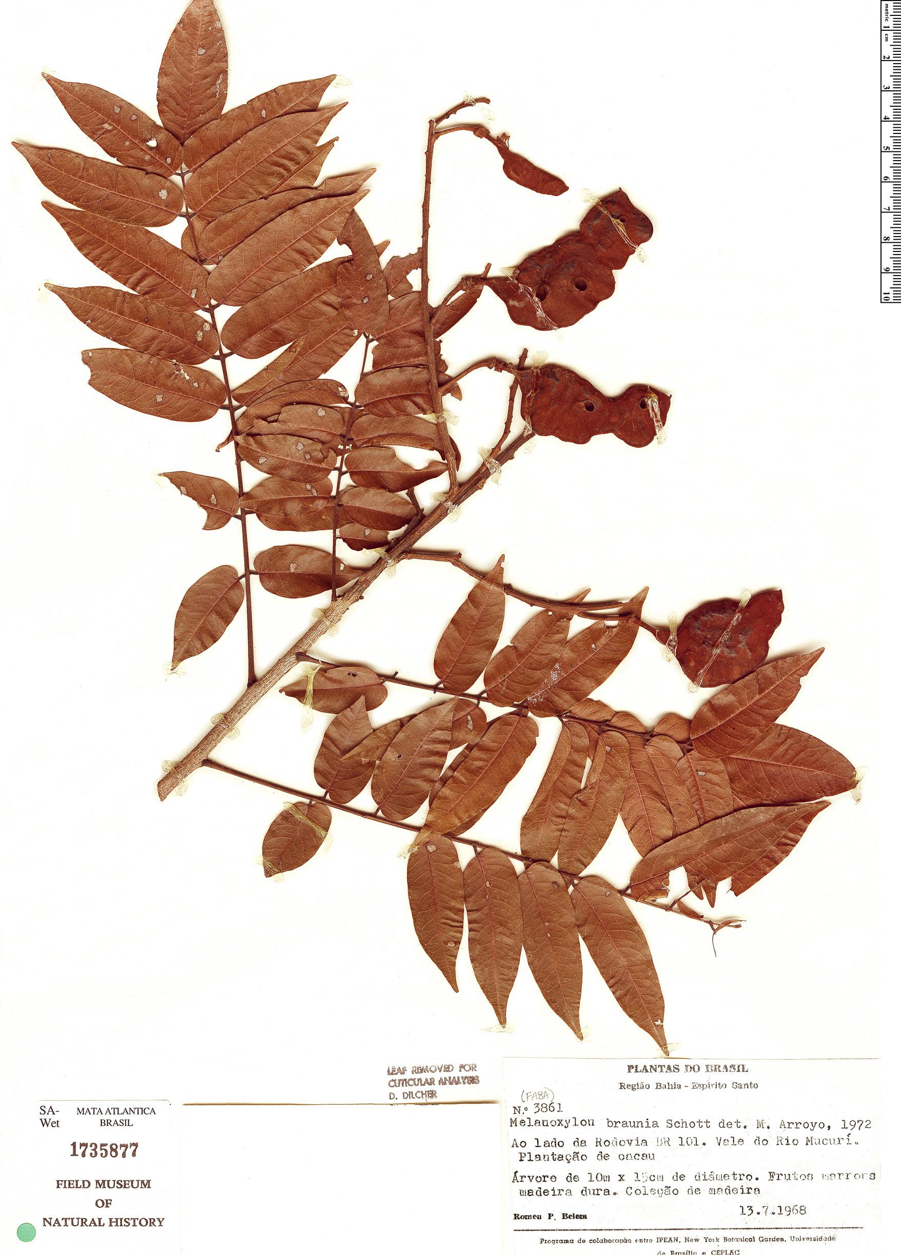 Specimen: Melanoxylon brauna