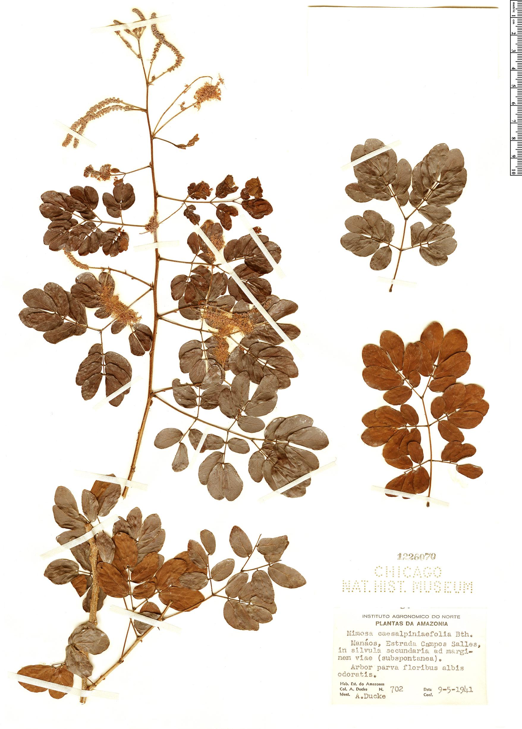 Espécime: Mimosa caesalpiniifolia
