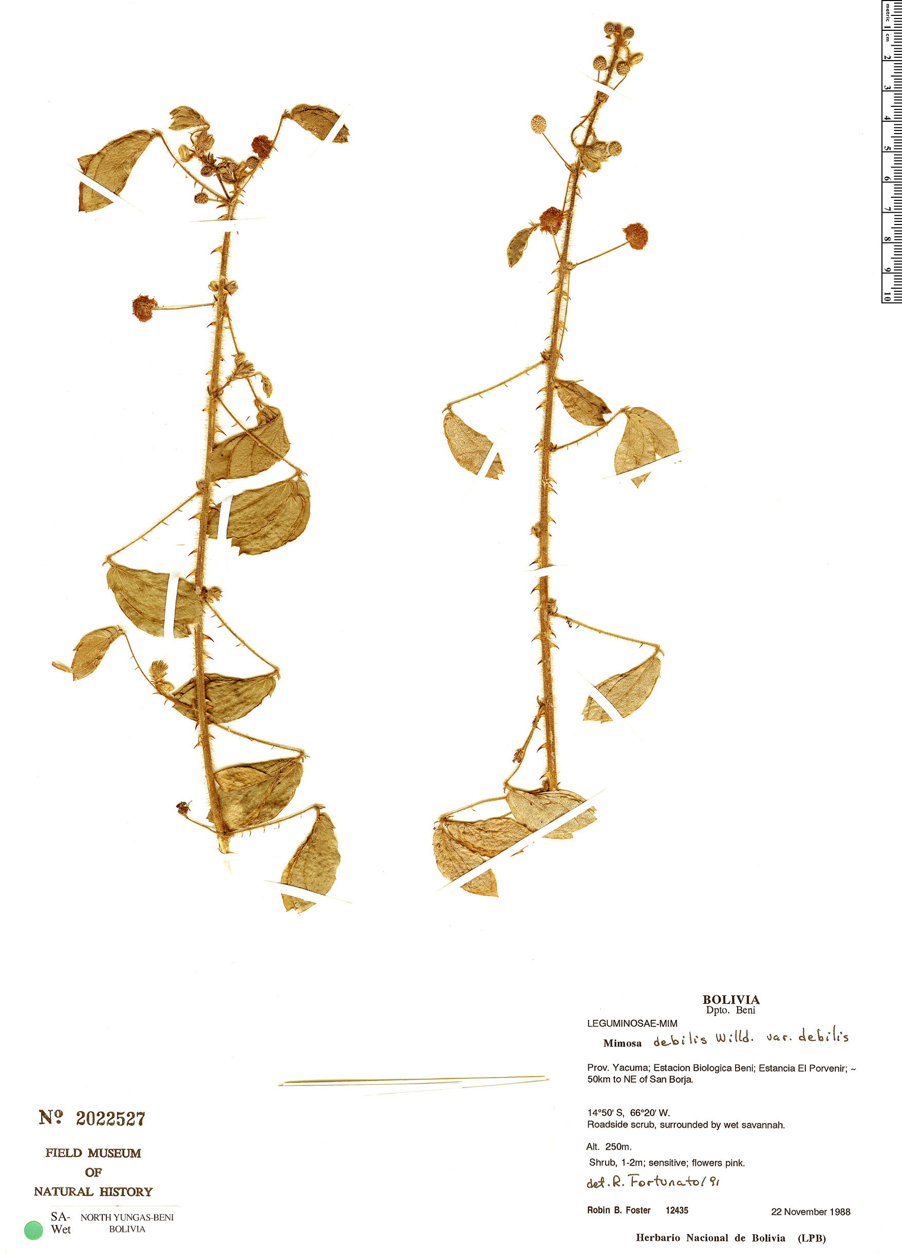 Specimen: Mimosa debilis
