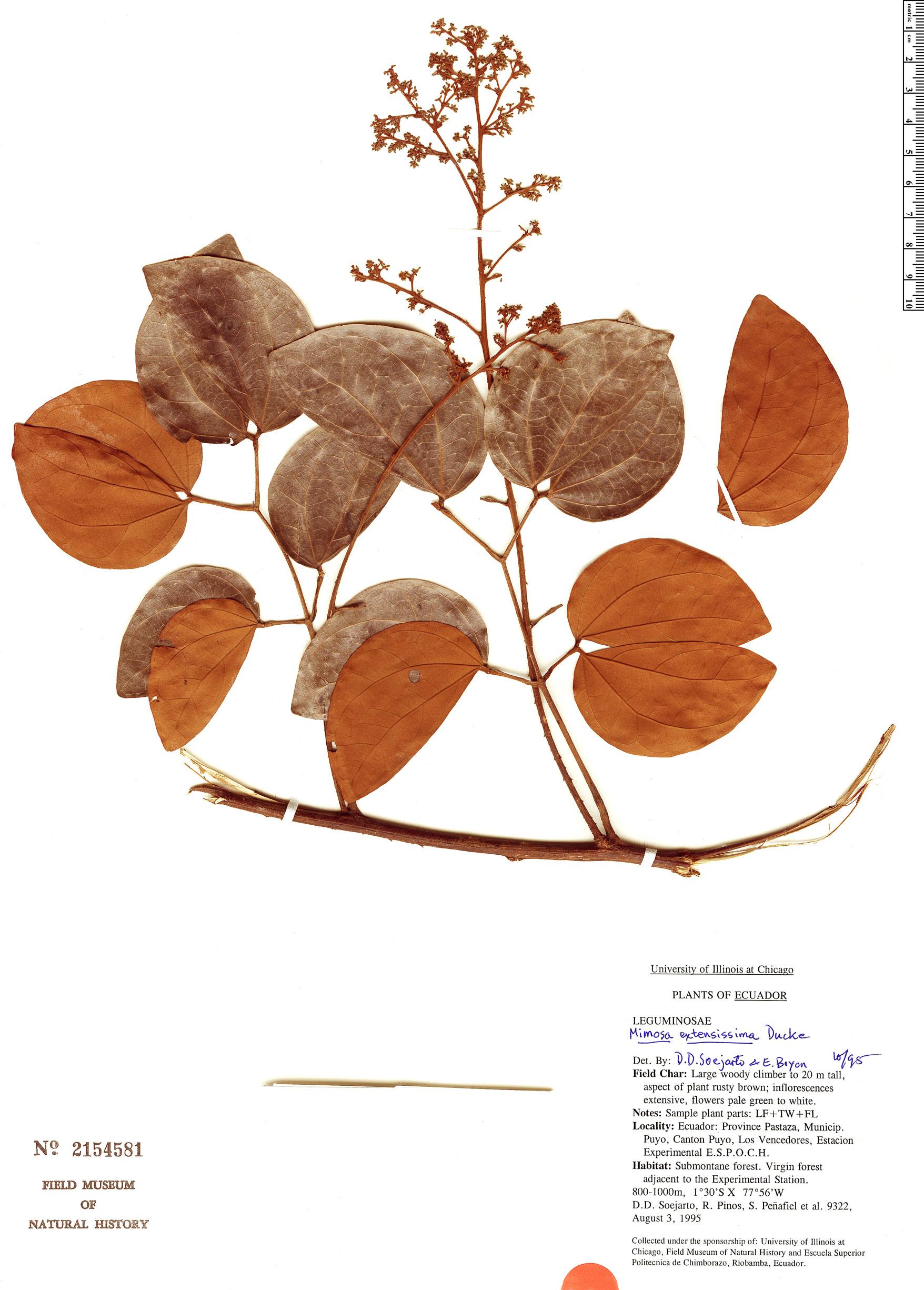 Specimen: Mimosa guilandinae