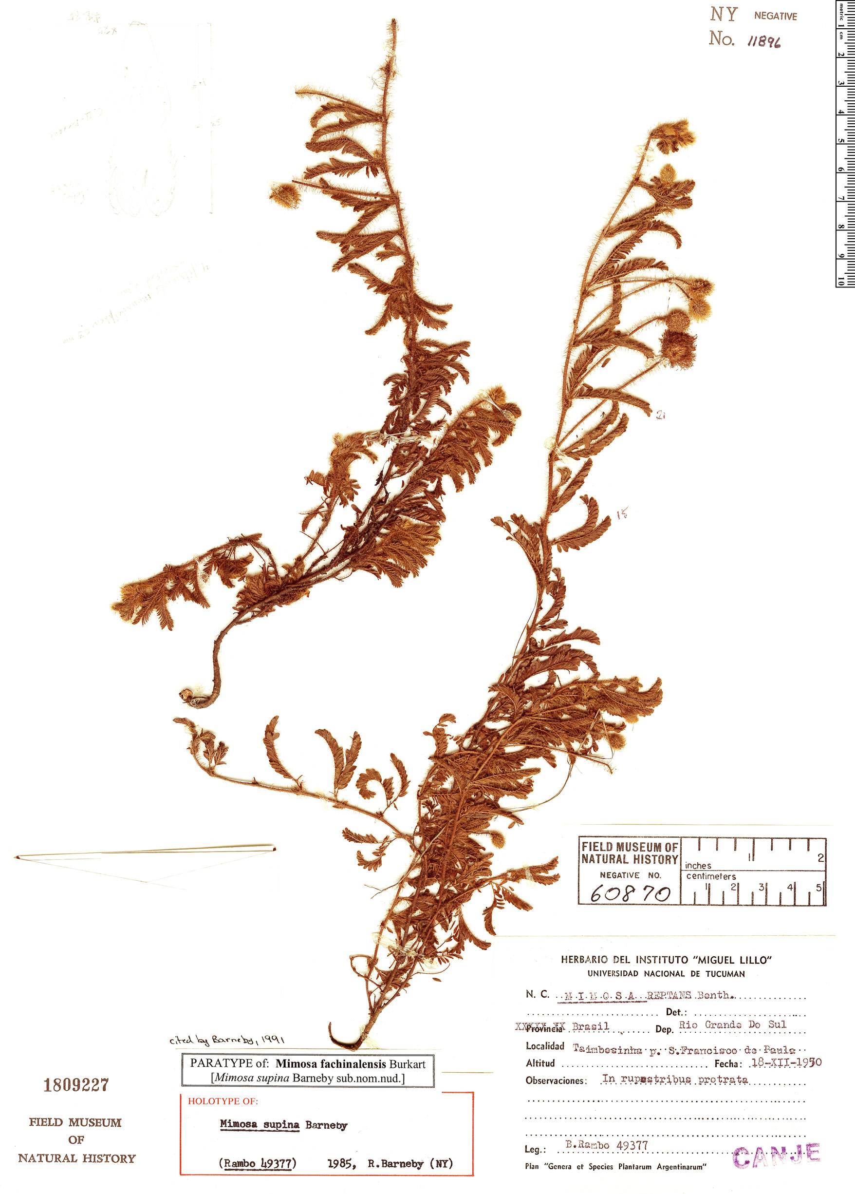 Espécimen: Mimosa fachinalensis