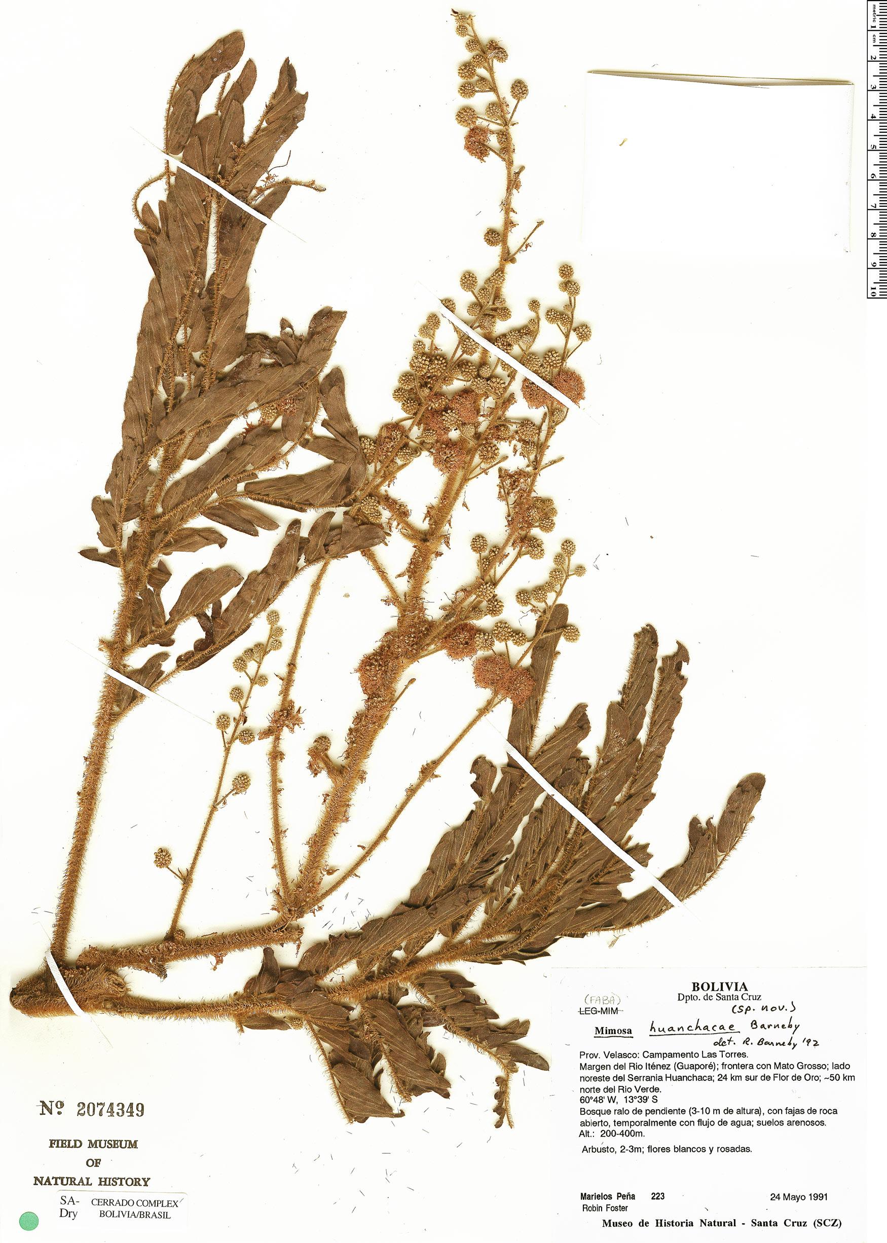 Specimen: Mimosa huanchacae