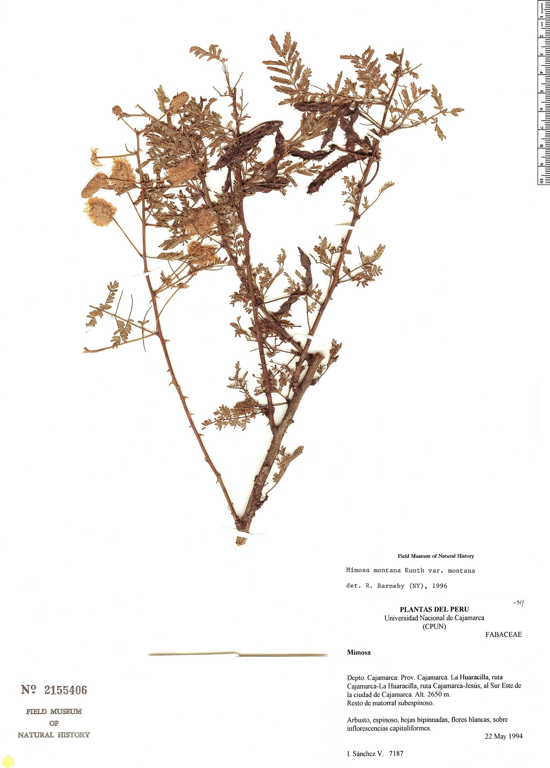 Espécime: Mimosa weberbaueri