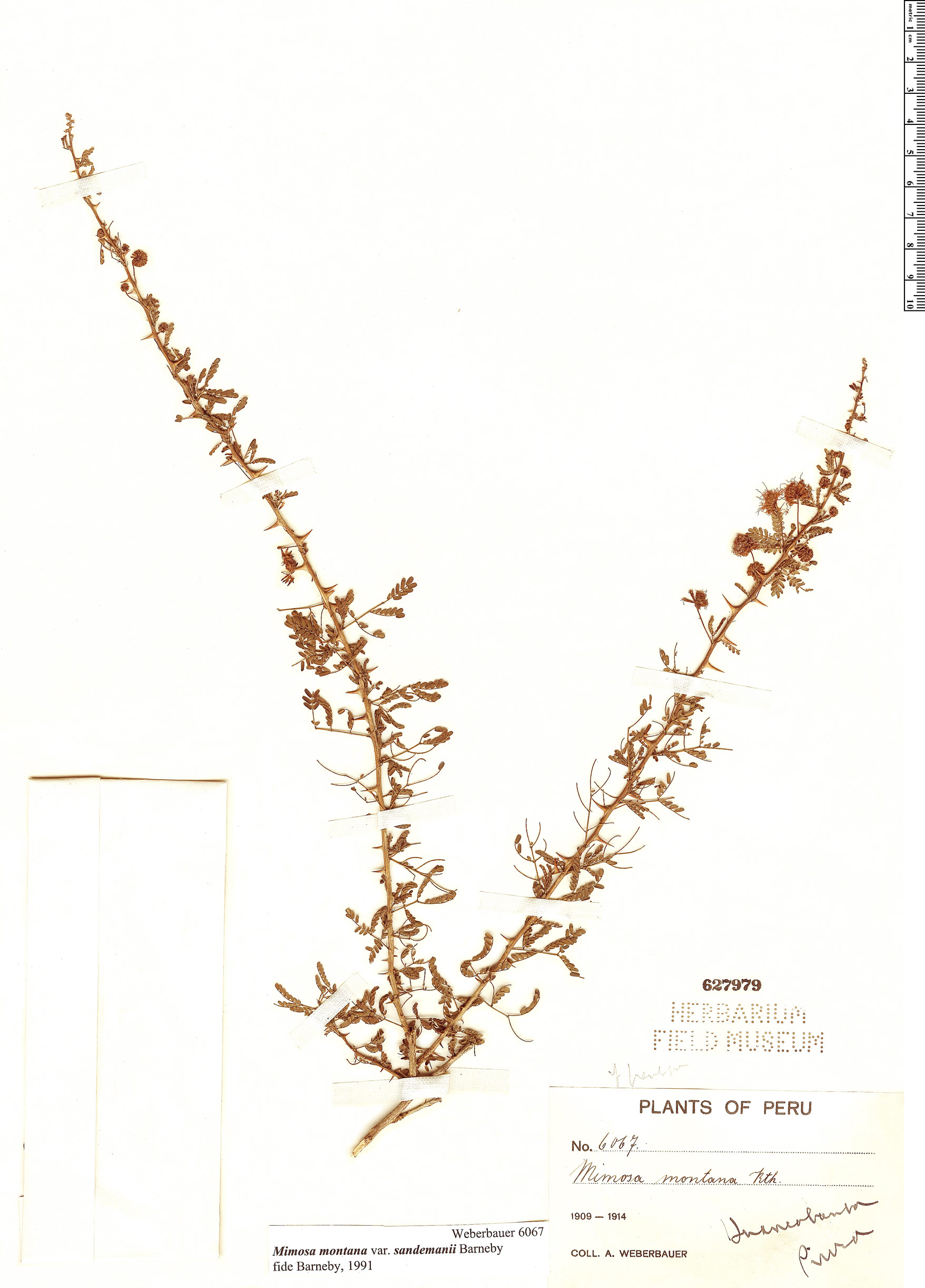 Specimen: Mimosa montana