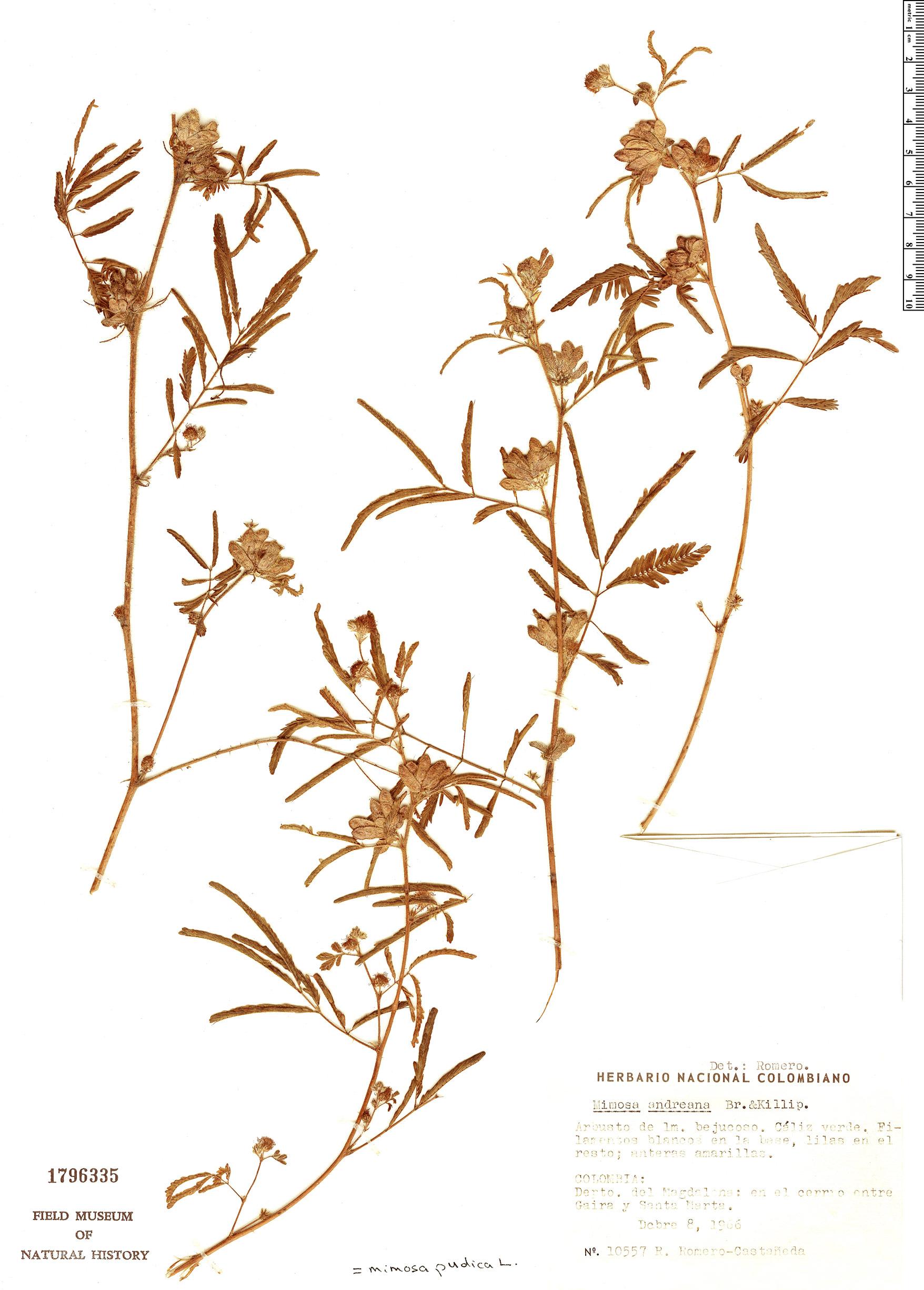 Specimen: Mimosa pudica