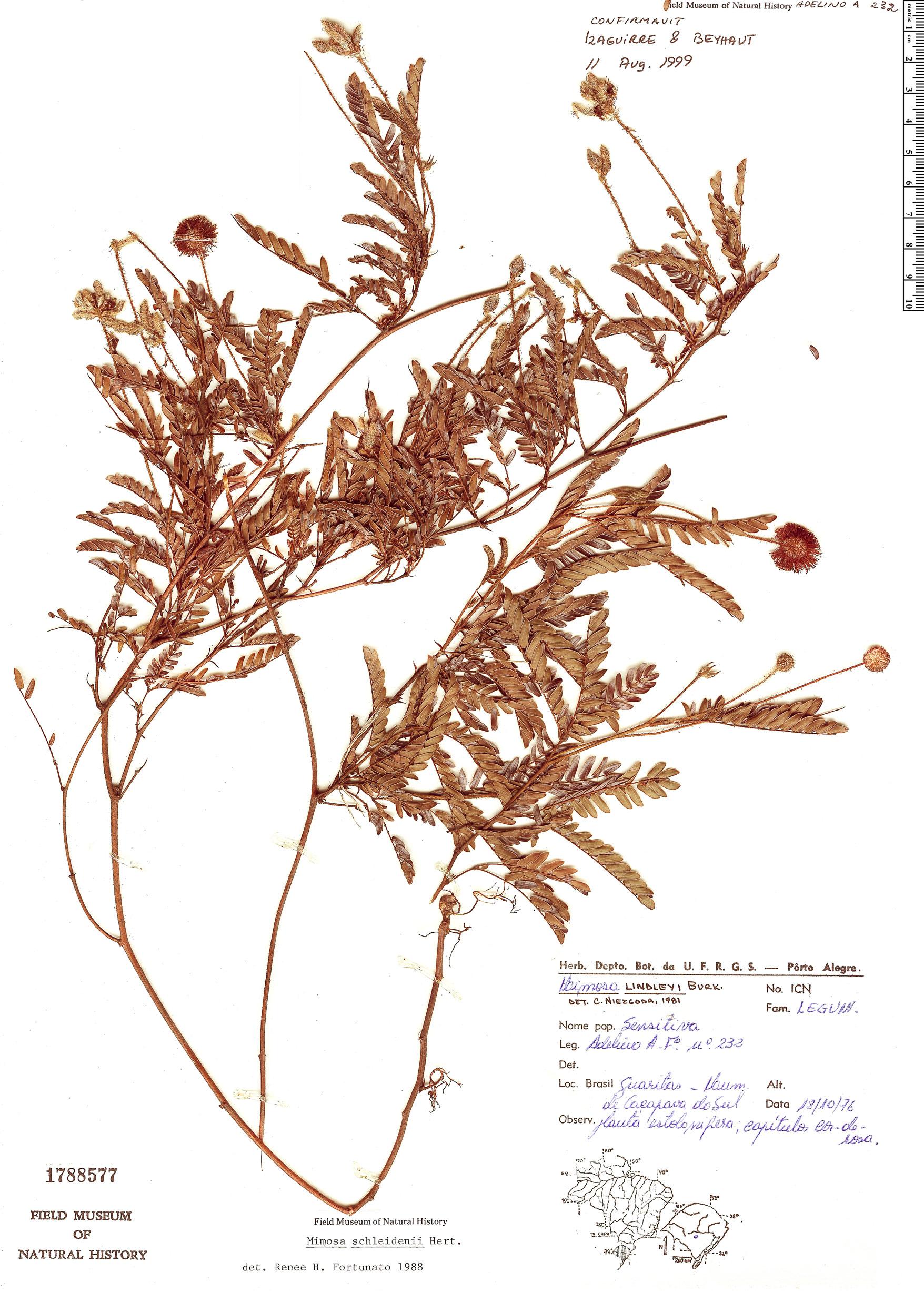 Espécime: Mimosa schleidenii