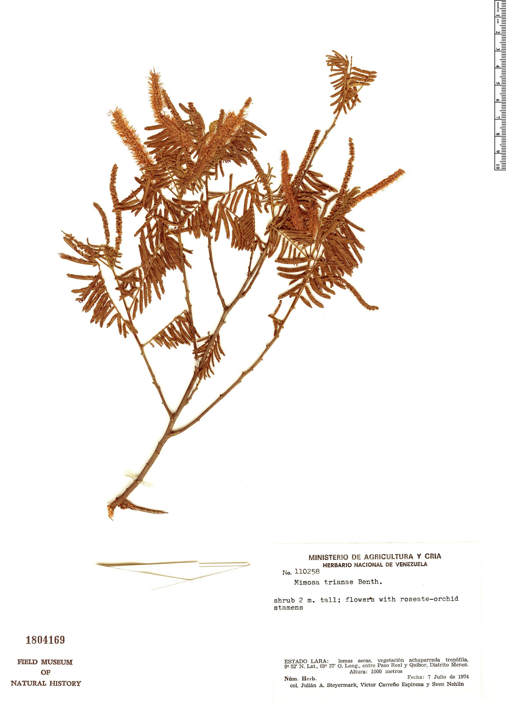 Specimen: Mimosa gemmulata