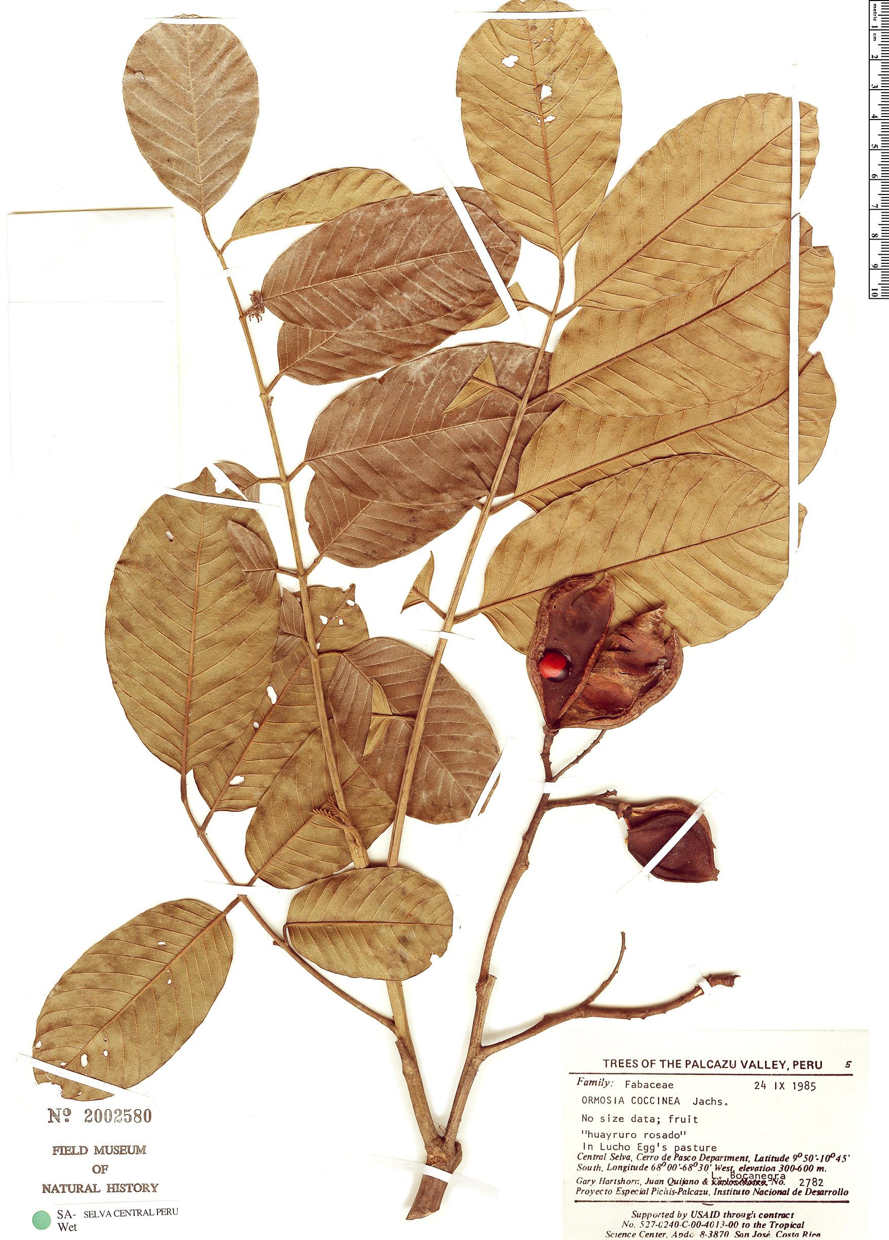 Specimen: Ormosia coccinea