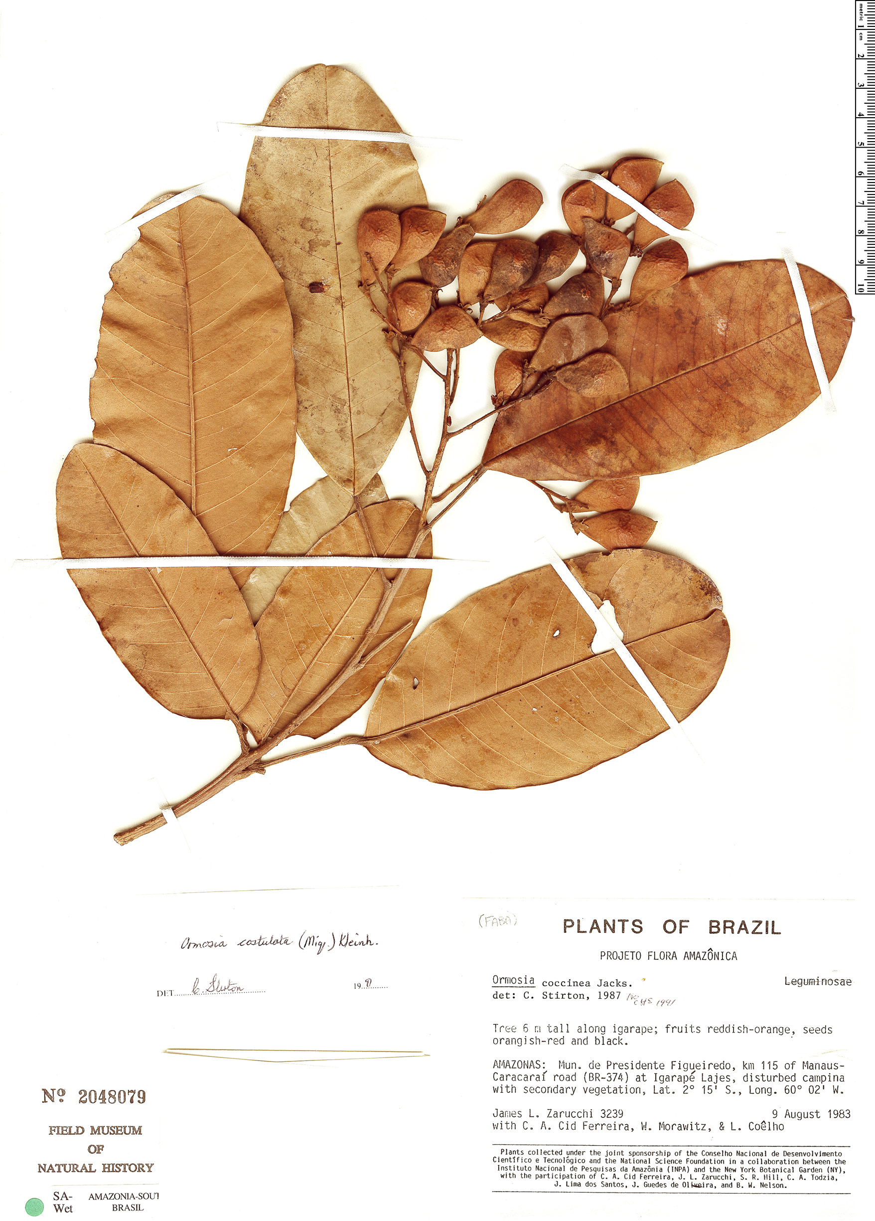 Espécime: Ormosia costulata
