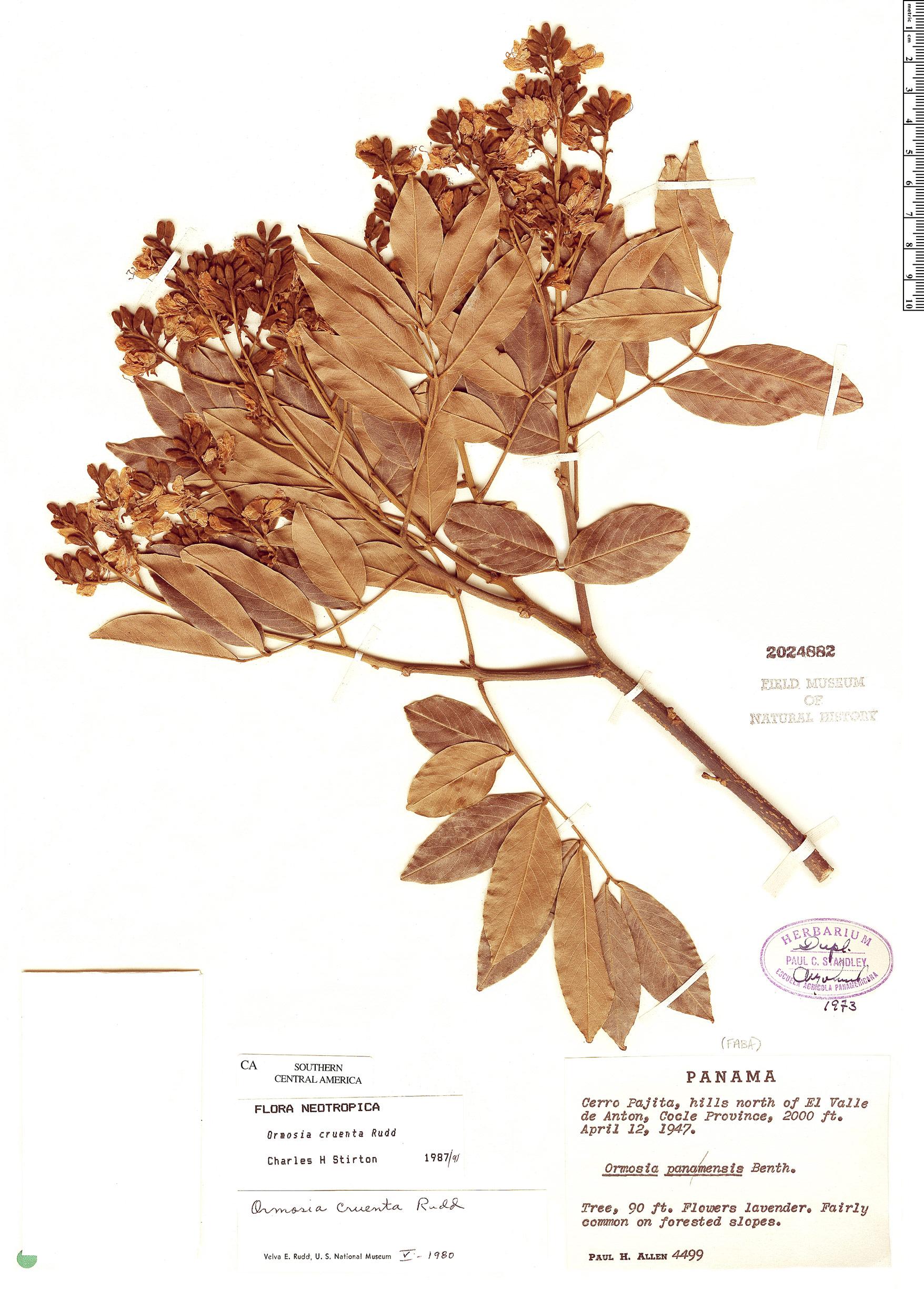 Specimen: Ormosia cruenta