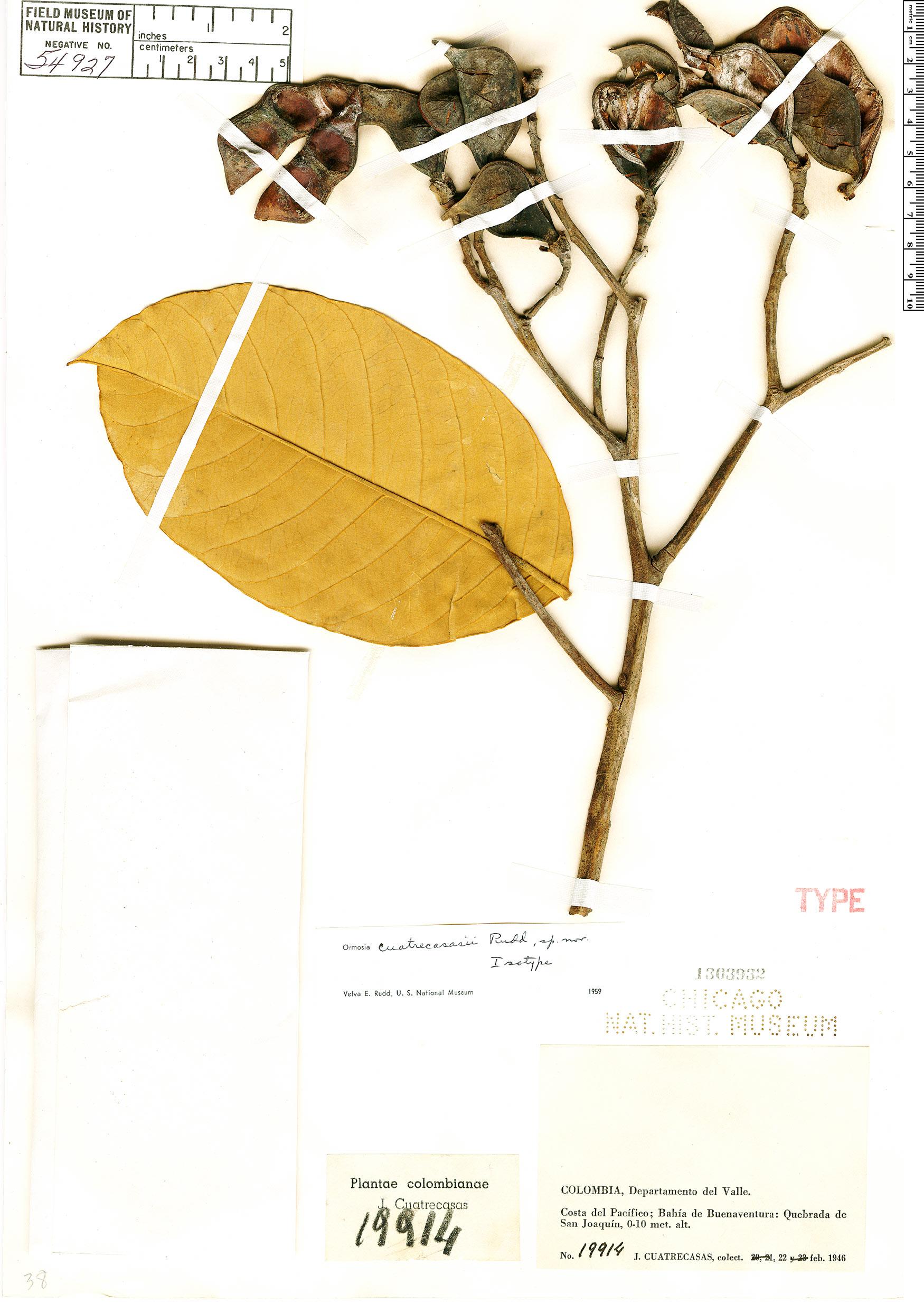 Specimen: Ormosia cuatrecasasii