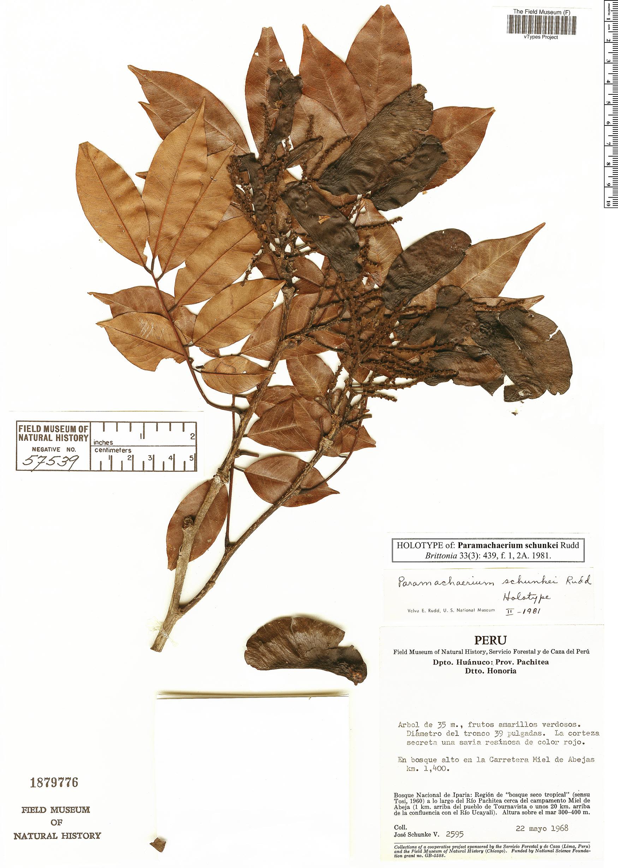 Espécimen: Paramachaerium schunkei