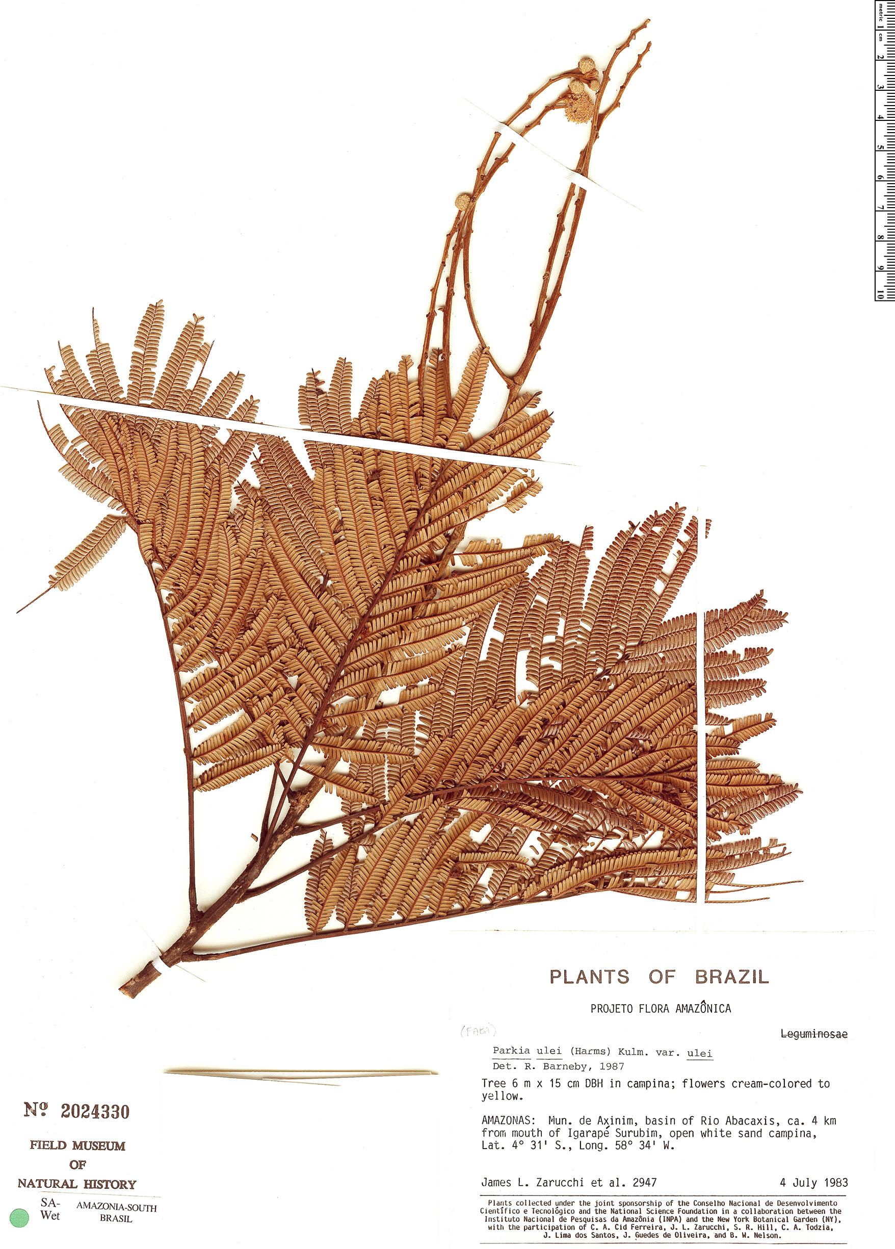 Espécime: Parkia ulei
