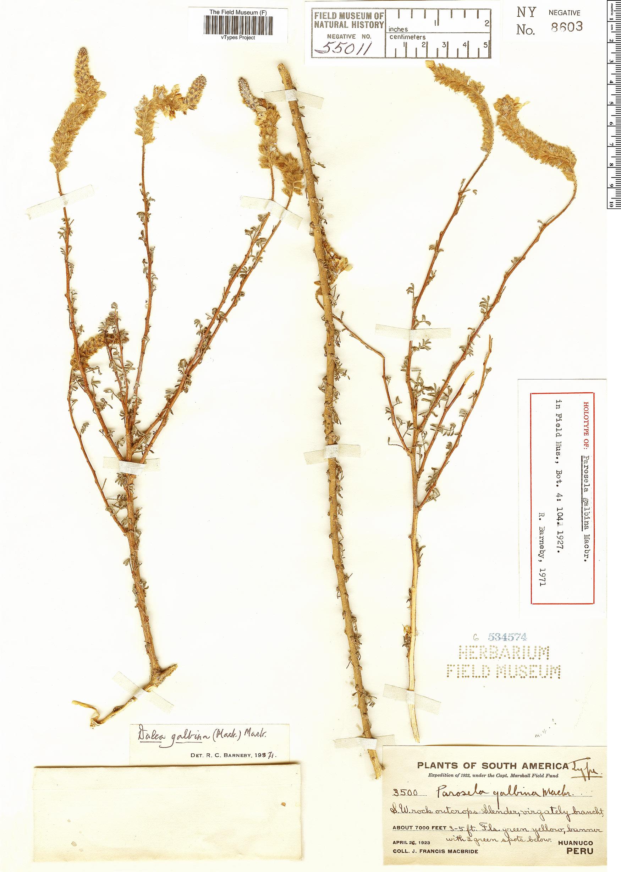 Espécime: Parosela galbina