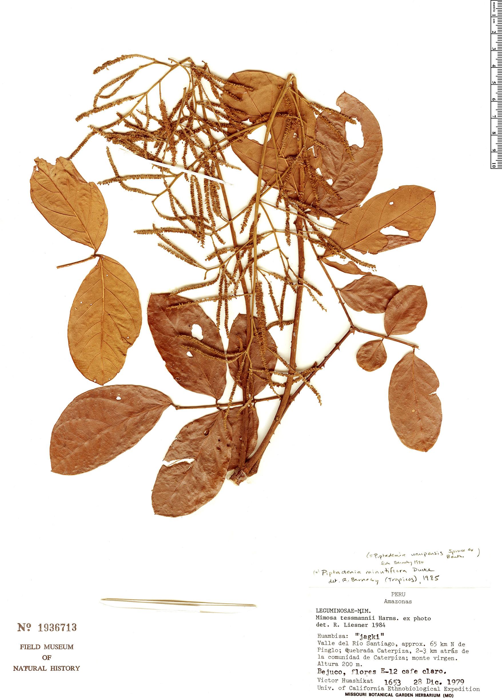 Specimen: Piptadenia uaupensis