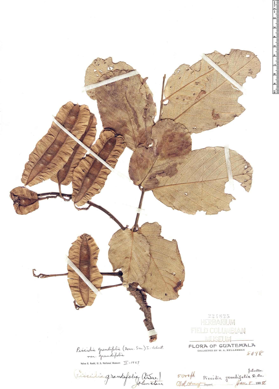 Specimen: Piscidia grandifolia