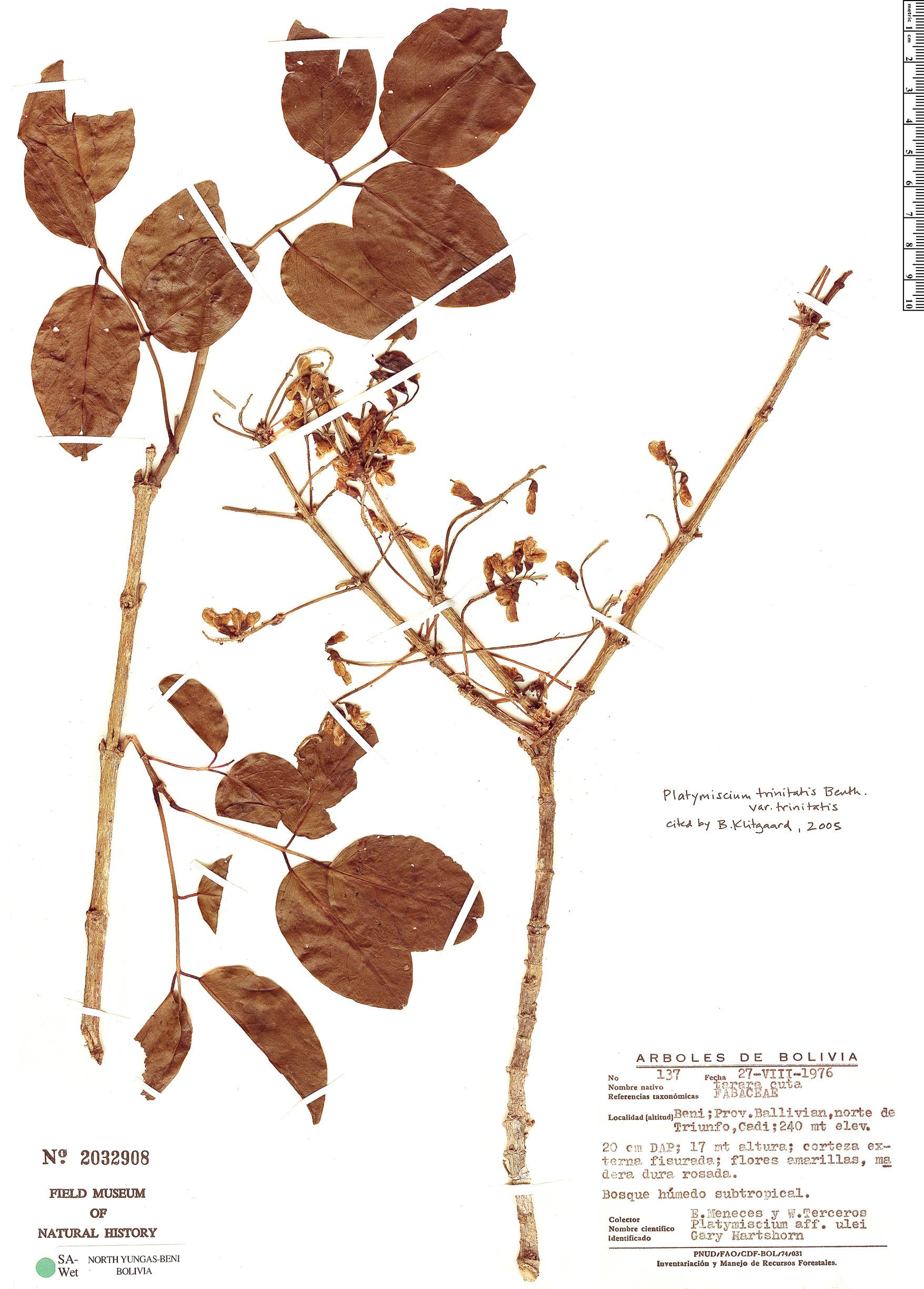 Specimen: Platymiscium trinitatis