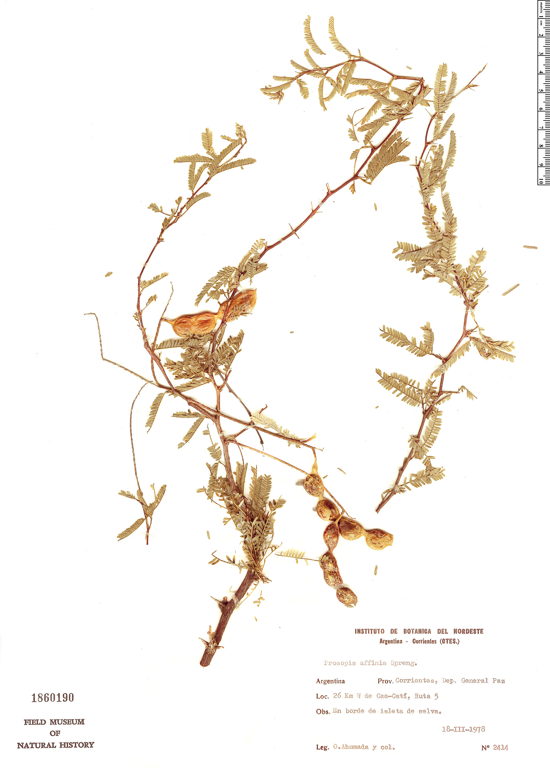 Specimen: Prosopis affinis