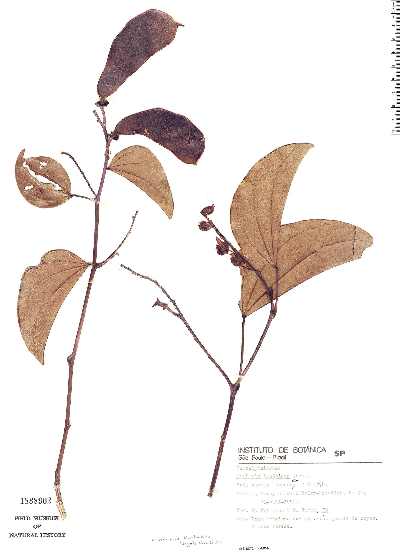 Espécimen: Schnella kunthiana