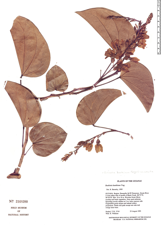 Specimen: Schnella kunthiana