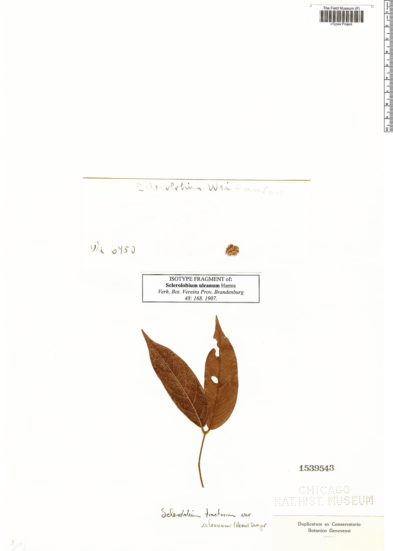 Specimen: Sclerolobium uleanum