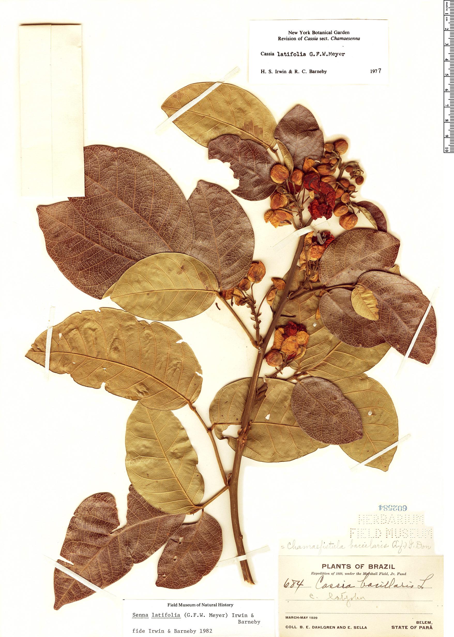 Specimen: Senna latifolia