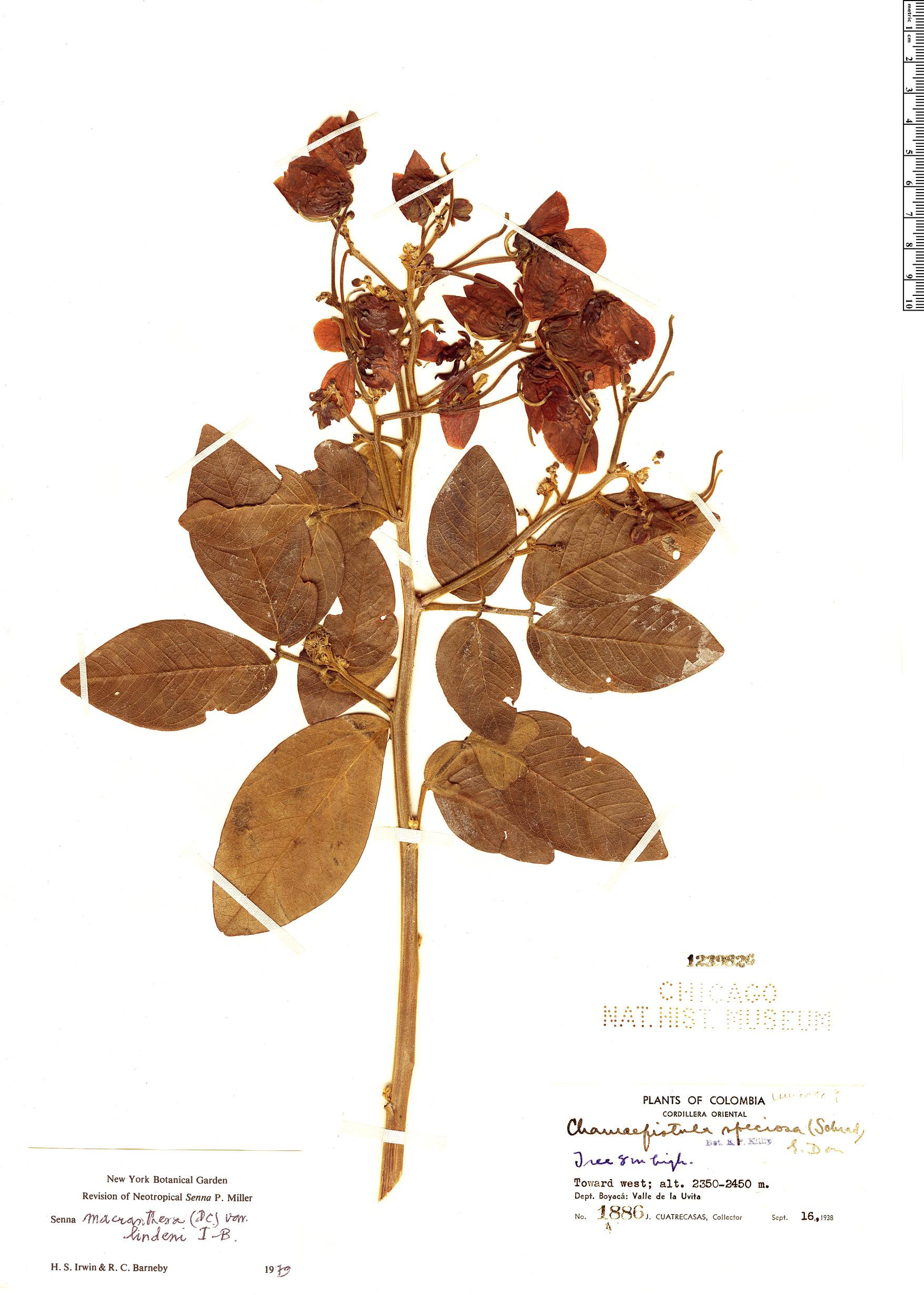 Espécimen: Senna macranthera