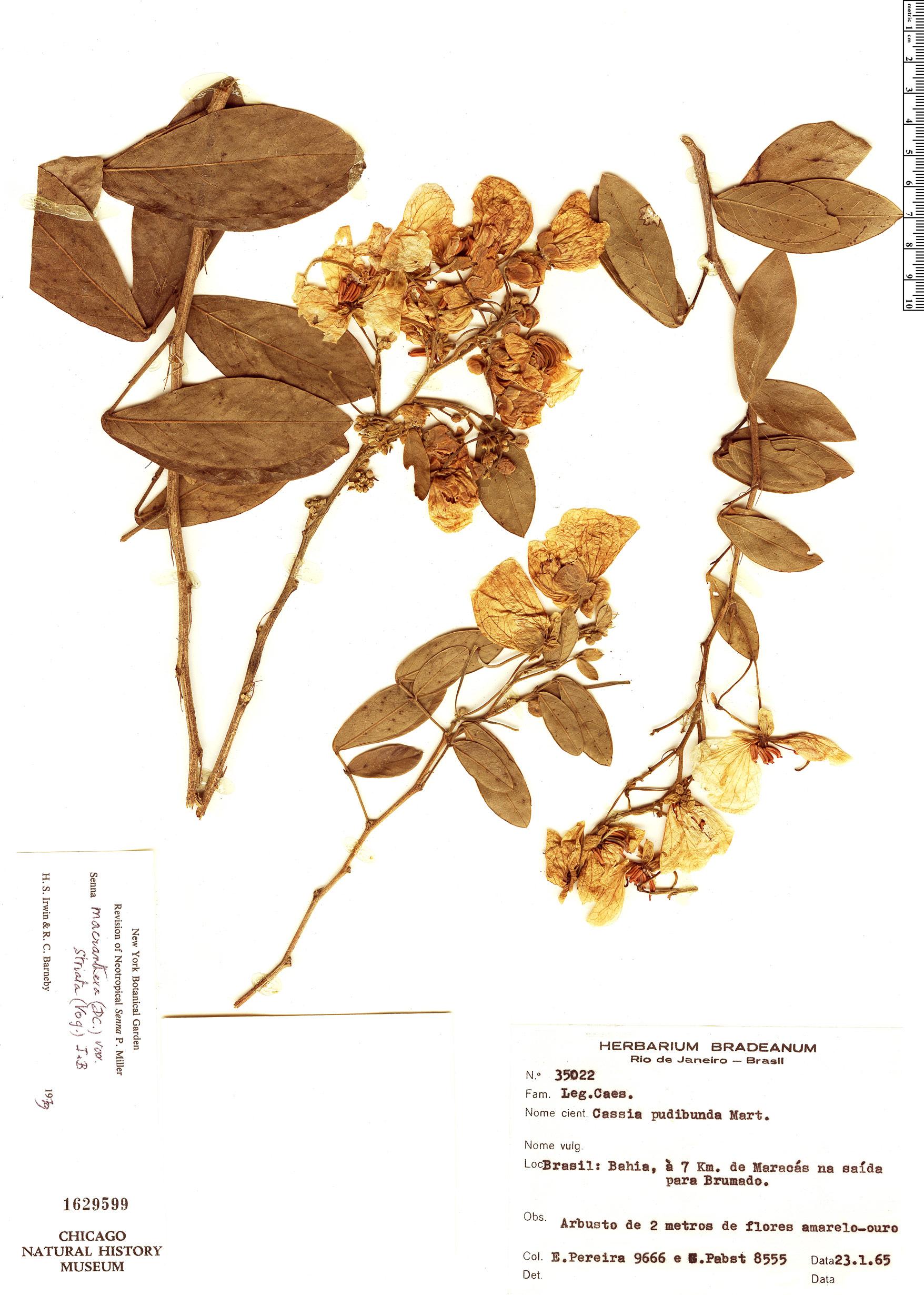 Specimen: Senna macranthera