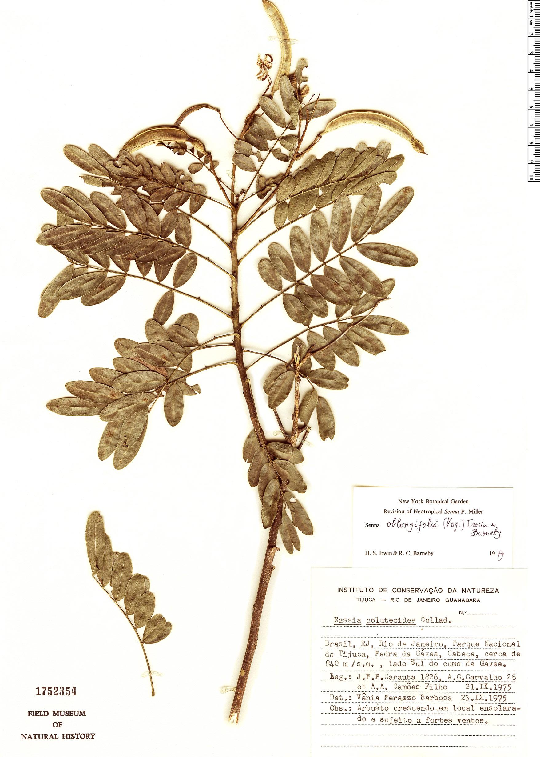 Espécimen: Senna oblongifolia