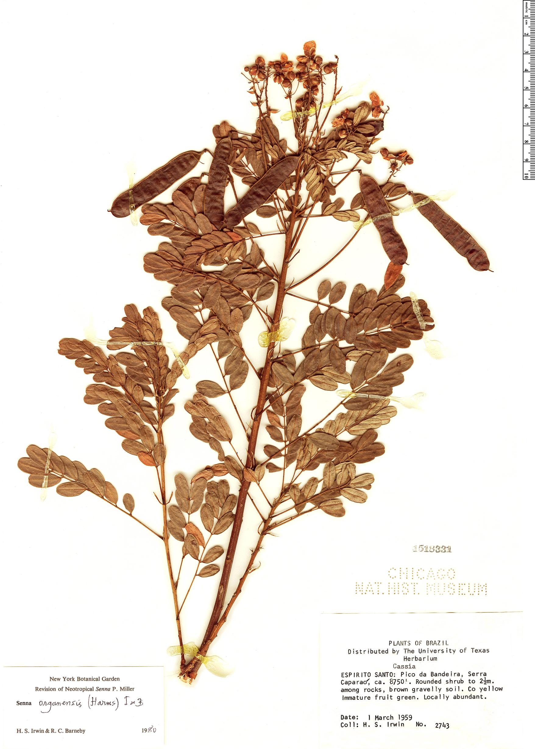 Specimen: Senna organensis