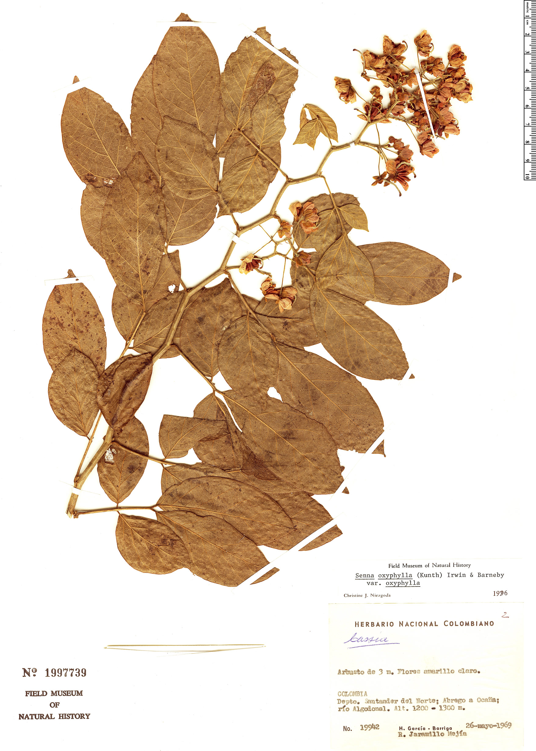 Specimen: Senna oxyphylla