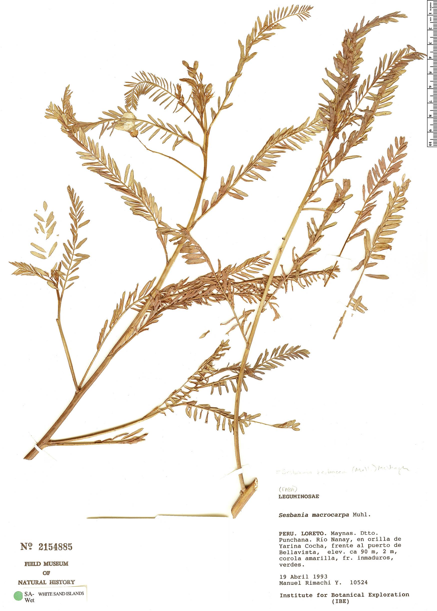 Specimen: Sesbania herbacea