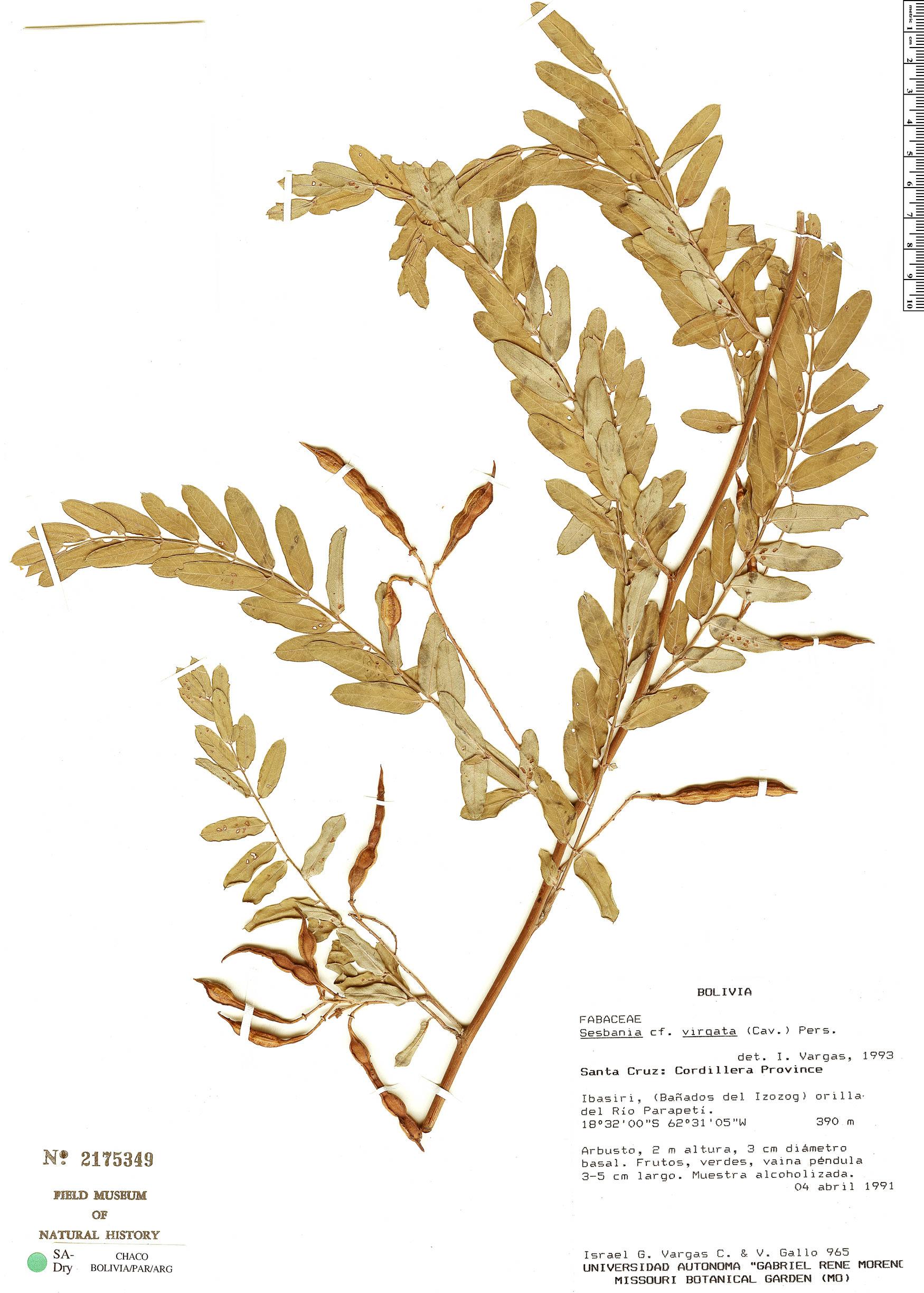 Specimen: Sesbania virgata