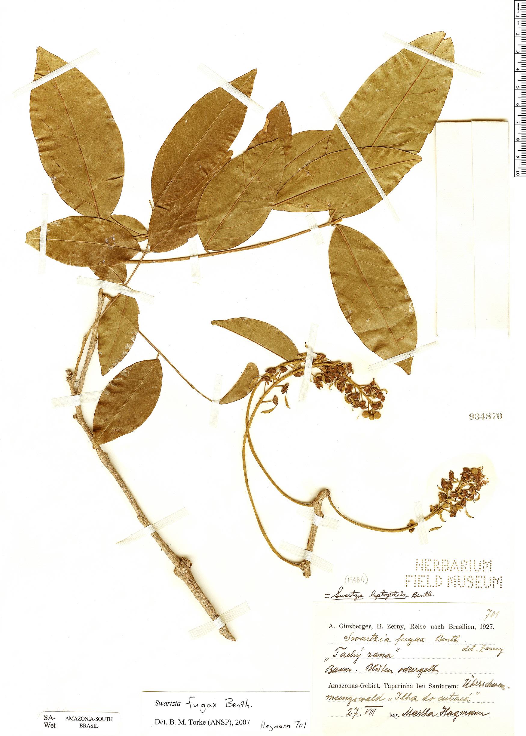 Espécimen: Swartzia fugax