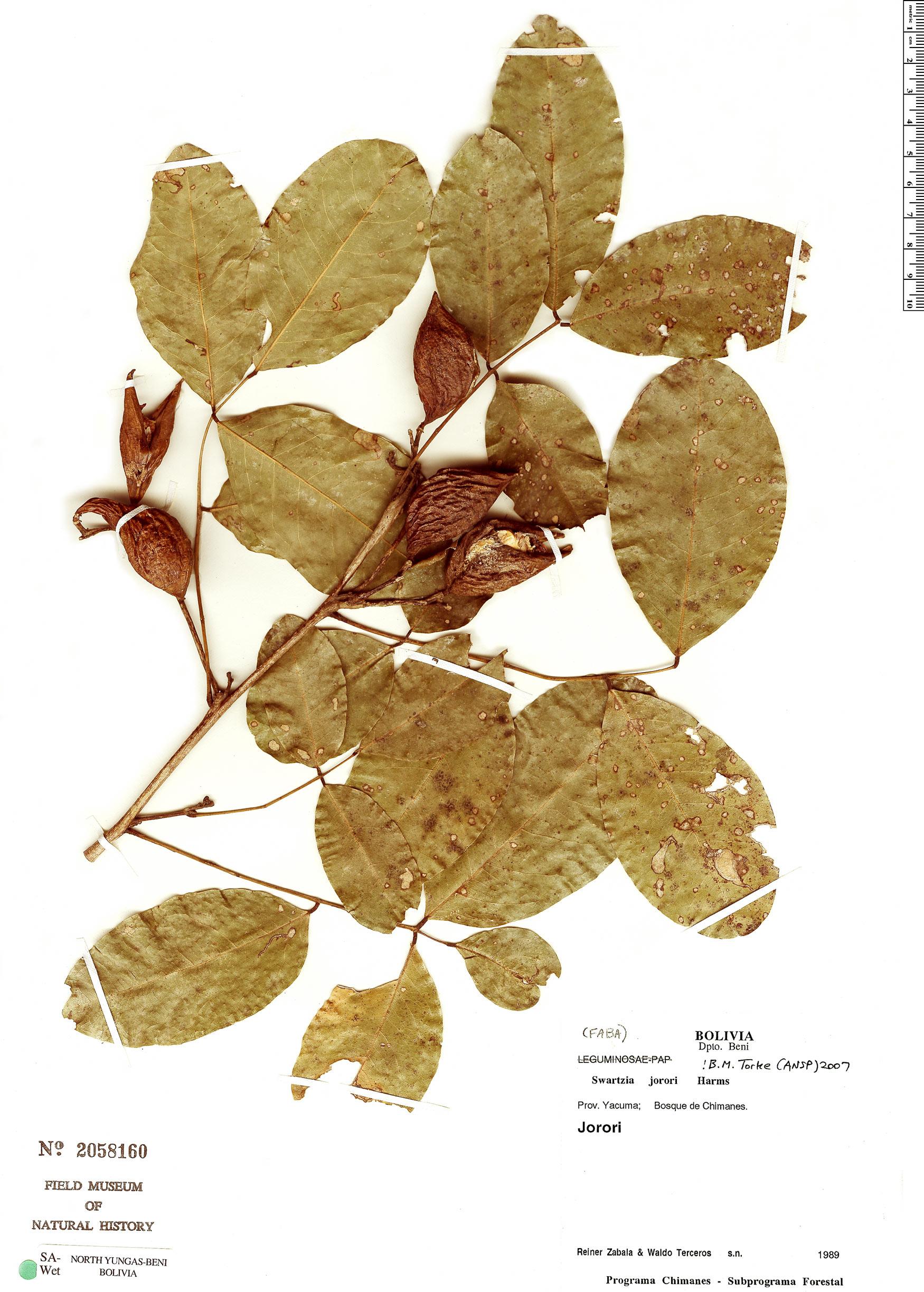 Specimen: Swartzia jorori